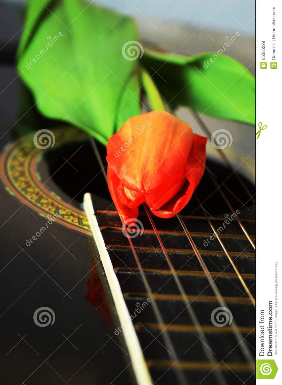 Tulip, symbol of Holland stock image  Image of songs - 85385229
