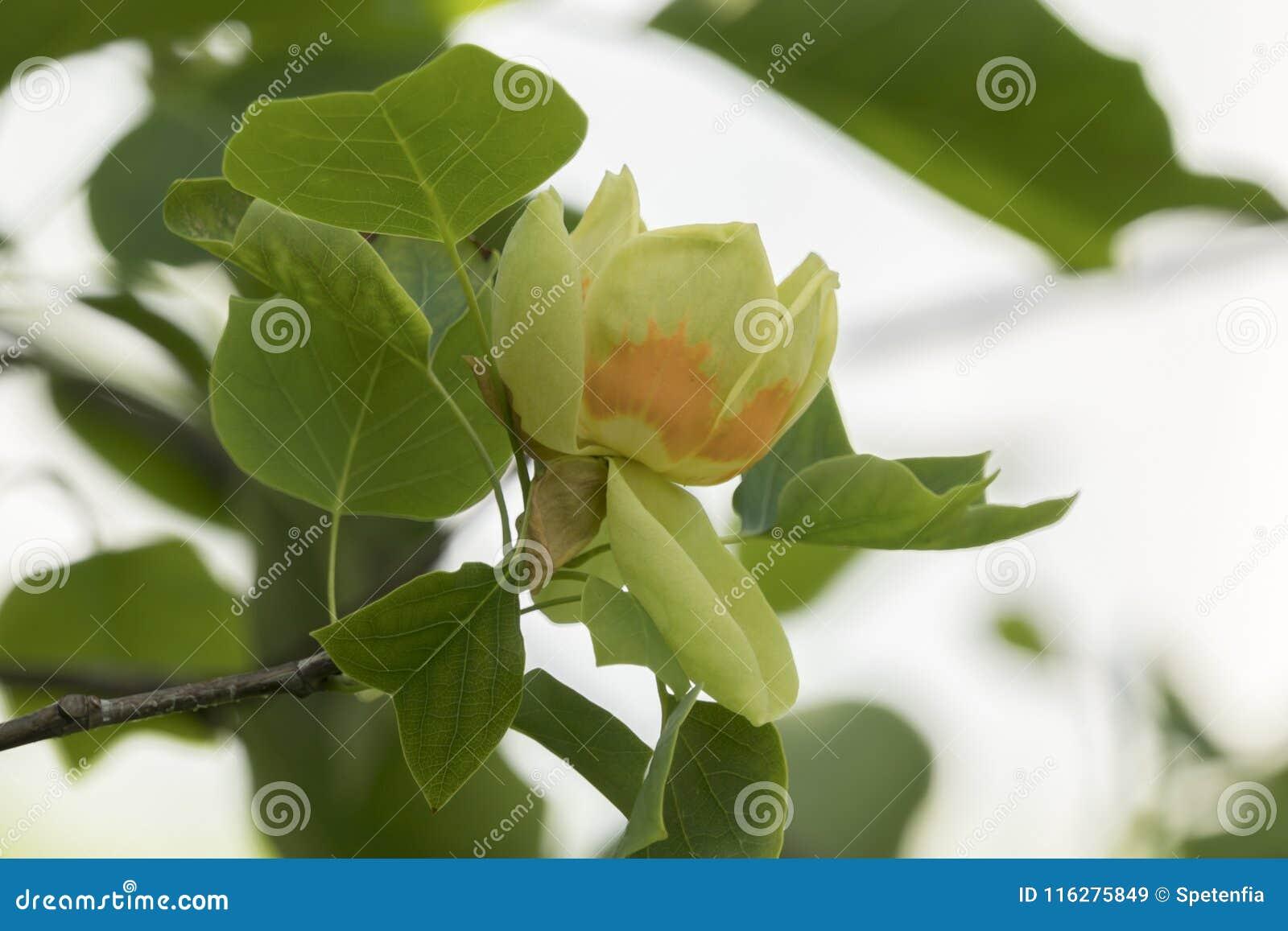 Tulip Tree In Bloom Stock Image Image Of Ornamental 116275849