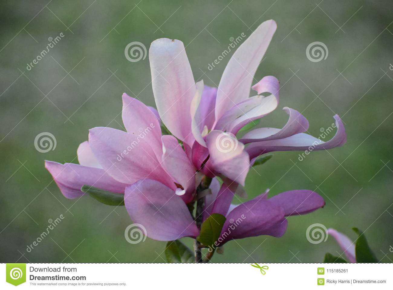Tulip Tree Flowers On A Spring Day Stock Image Image Of Texas