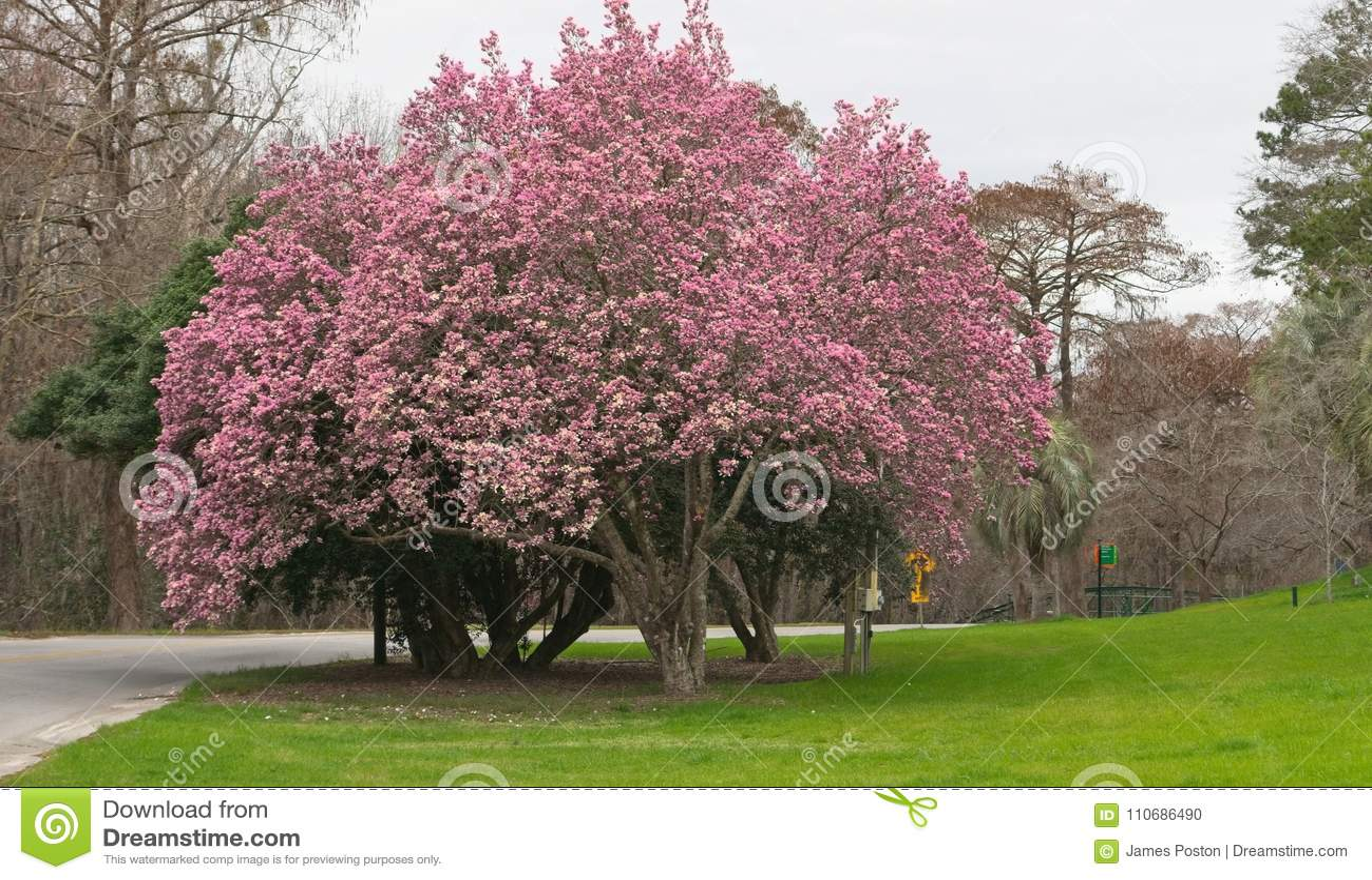 Tulip Tree In Full Bloom Stock Photo Image Of Bloom 110686490
