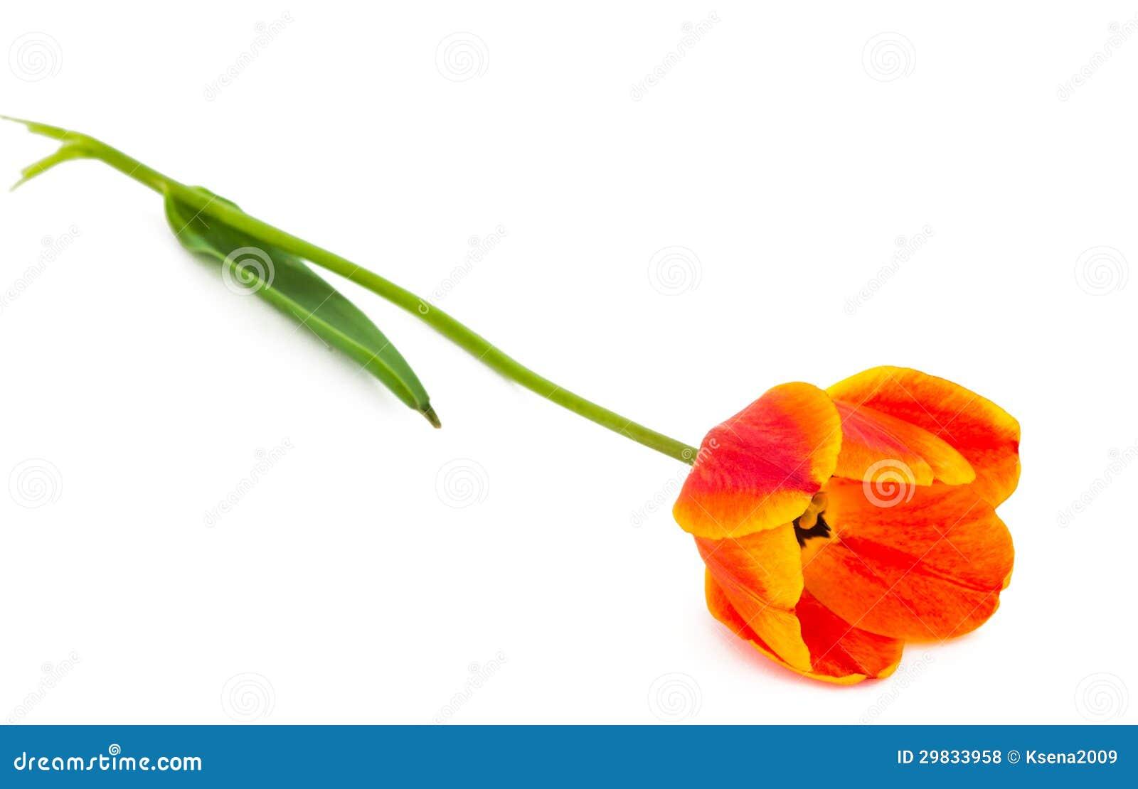 Tulipa amarela isolada