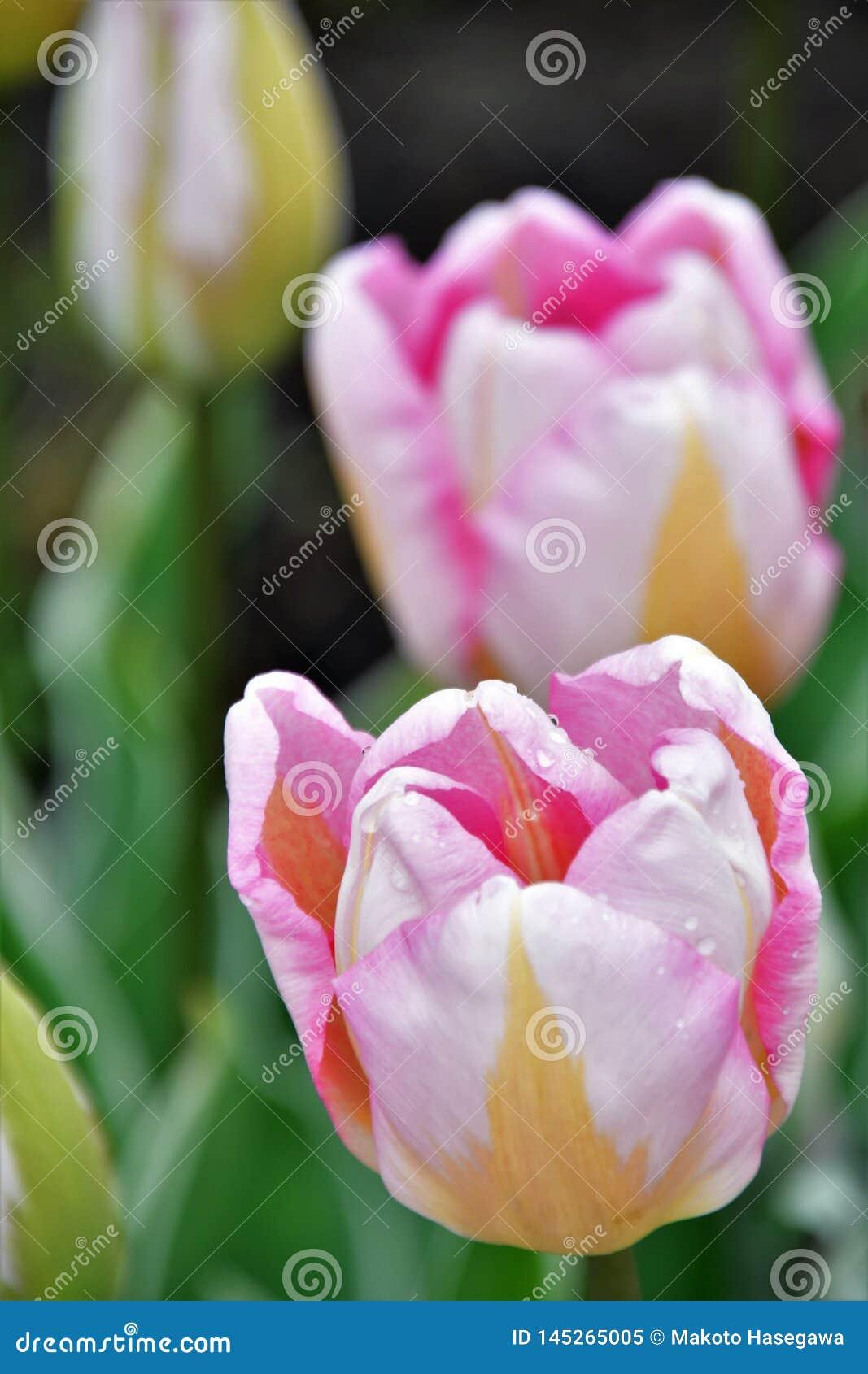 Tulipa de Triumph