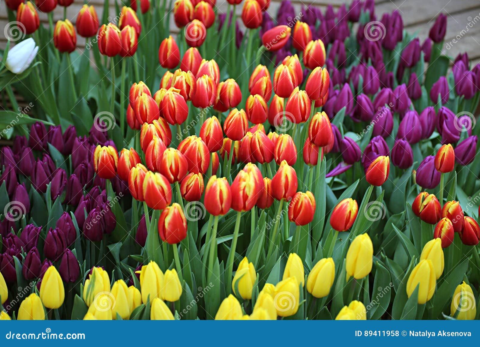 Tulipa Ramalhete bonito dos tulips