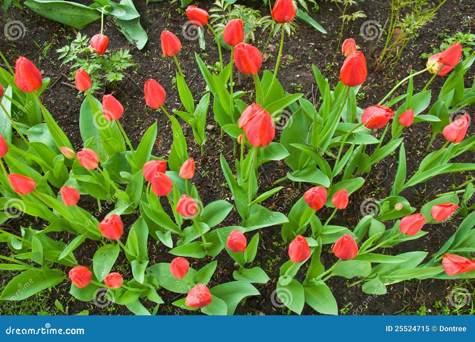 A tulipa vermelha de florescência