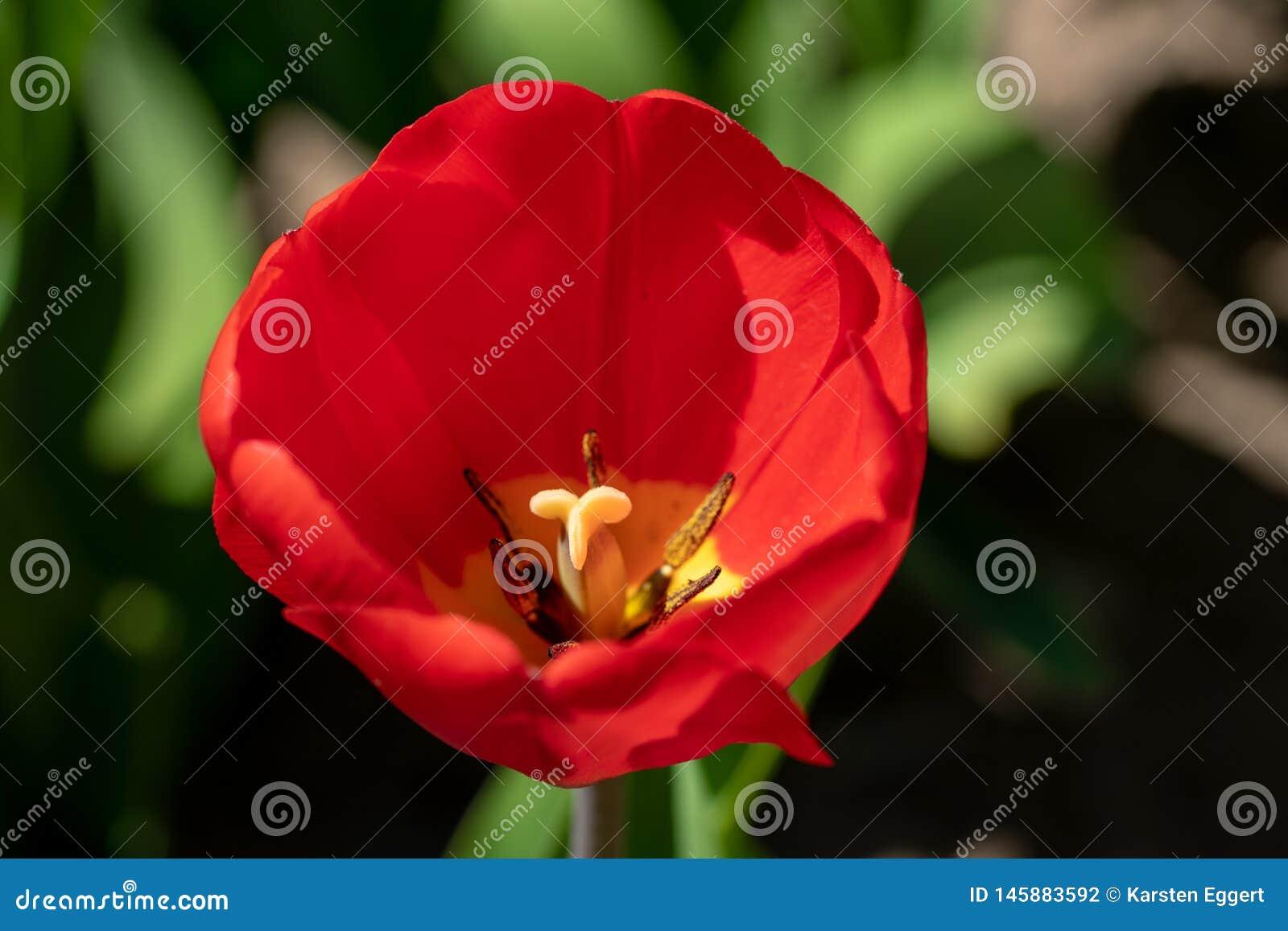 A tulipa vermelha está na frente de um campo da tulipa