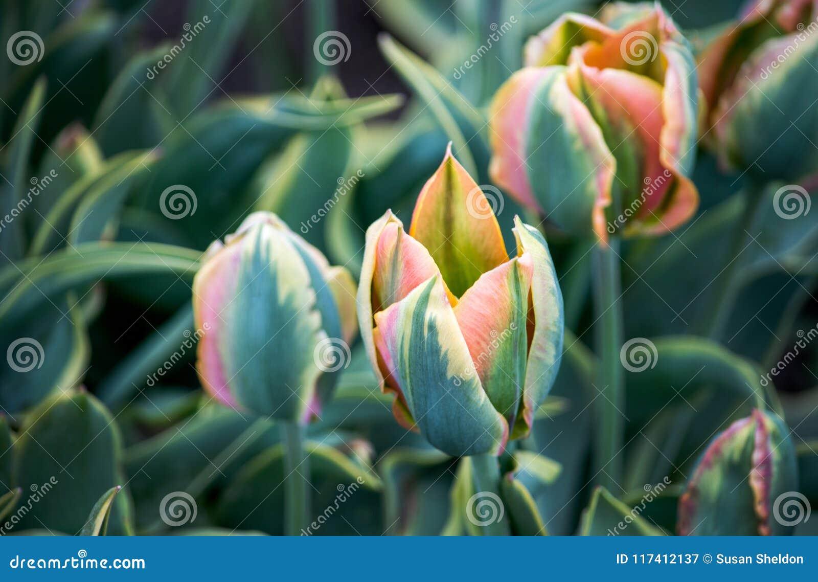 Tulipanes únicos con los pétalos verdes