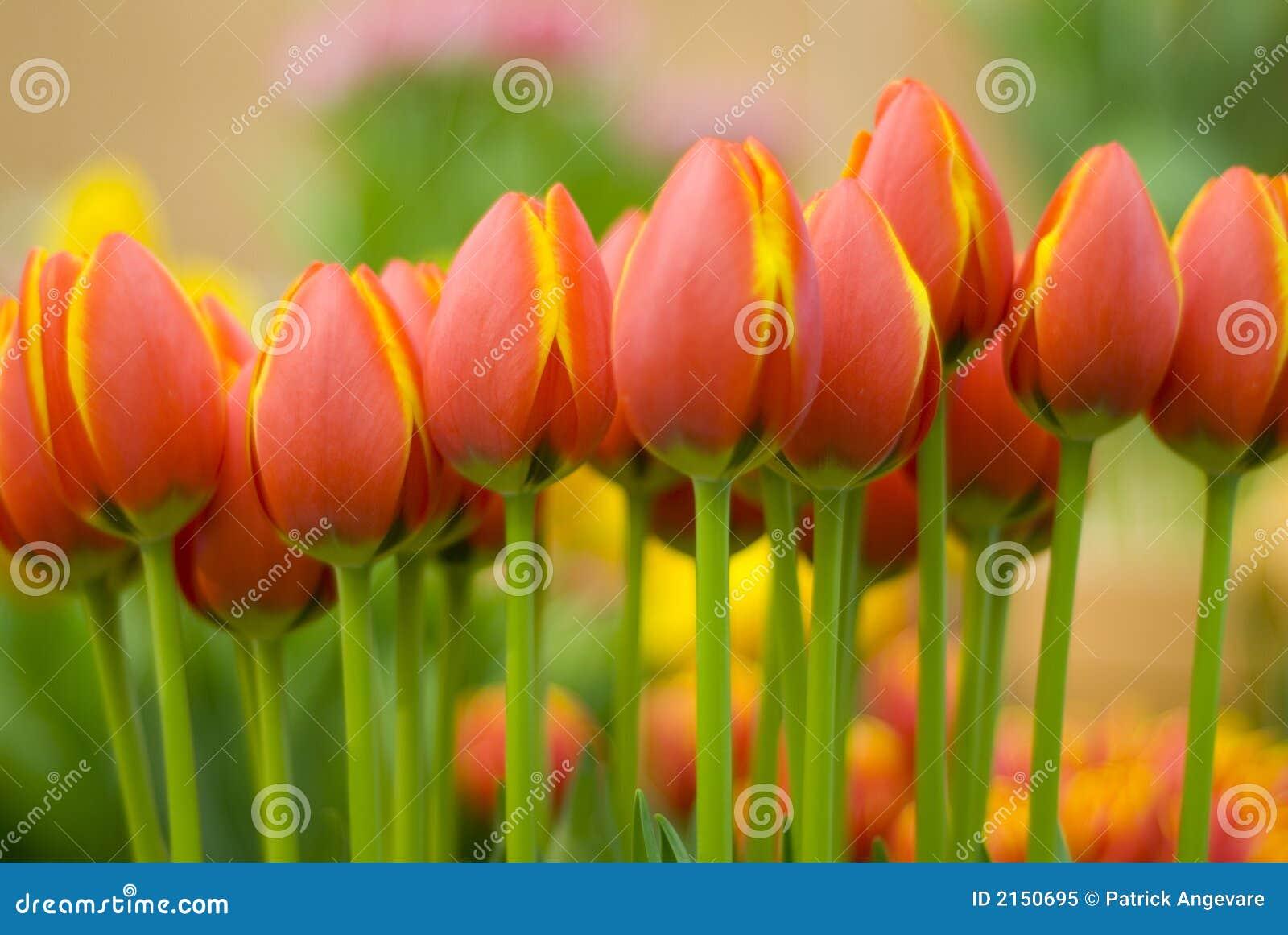 Tulipanes amarillo naranja imagen de archivo imagen de - Amarillo naranja ...