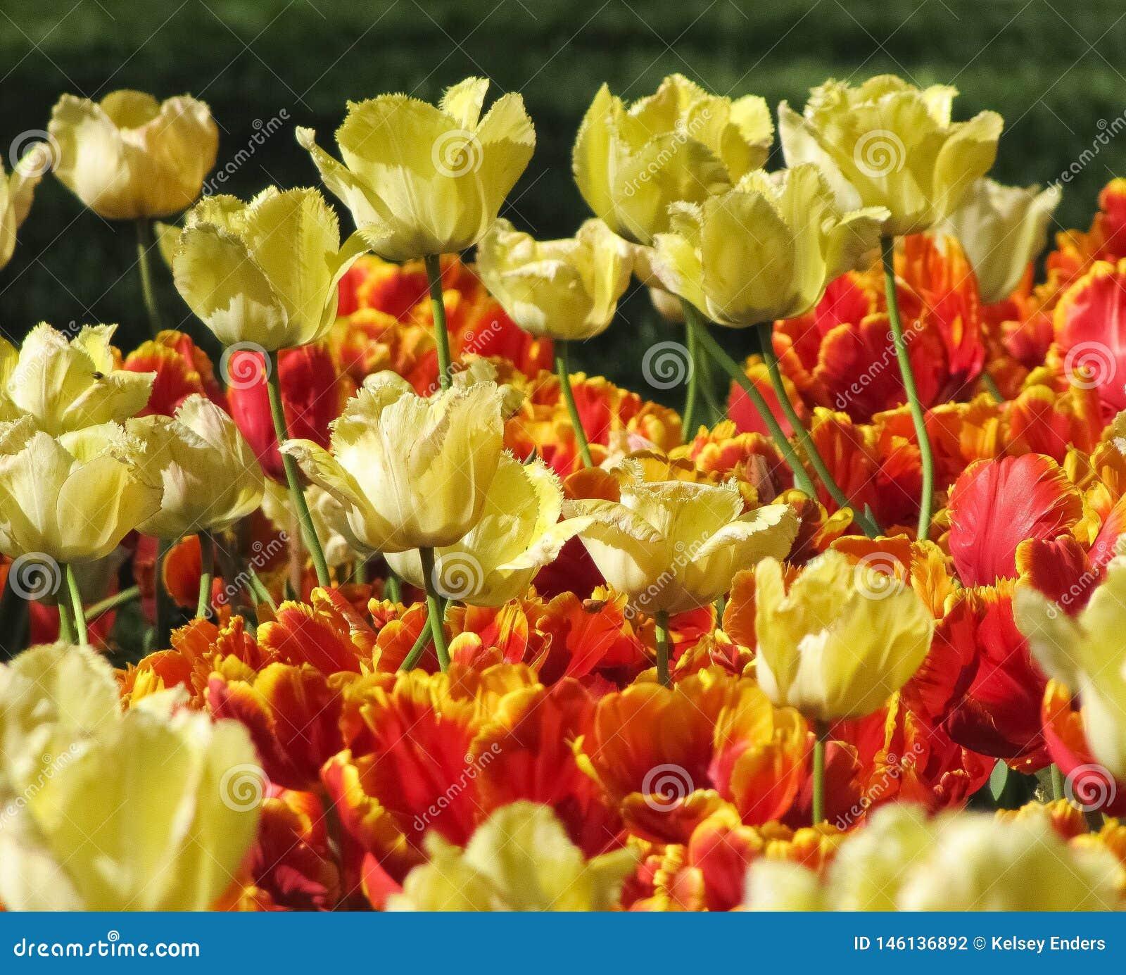 Tulipanes amarillos con los tulipanes rojos y amarillos
