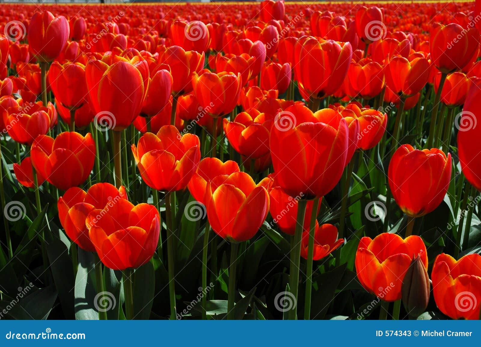Tulipanes anaranjados en resorte