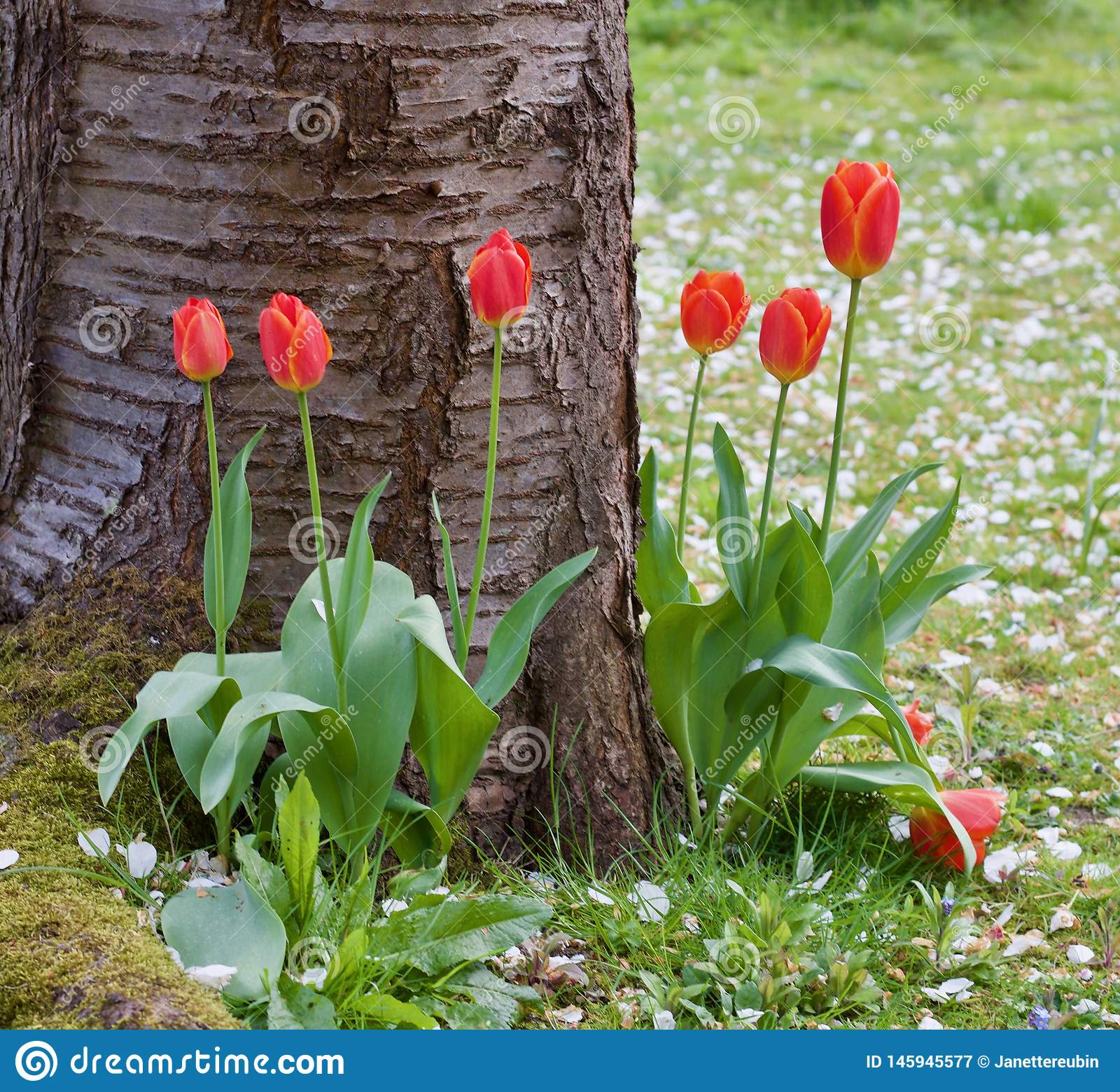 Tulipanes bastante rojos en la base del árbol - escena agradable de la primavera - imagen