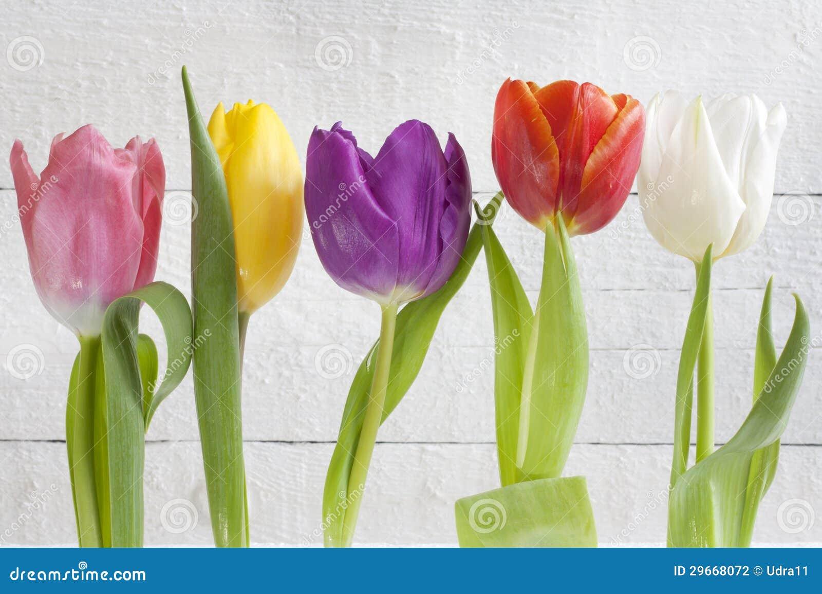 Tulipanes coloridos de pascua de la primavera en el fondo blanco del vintage