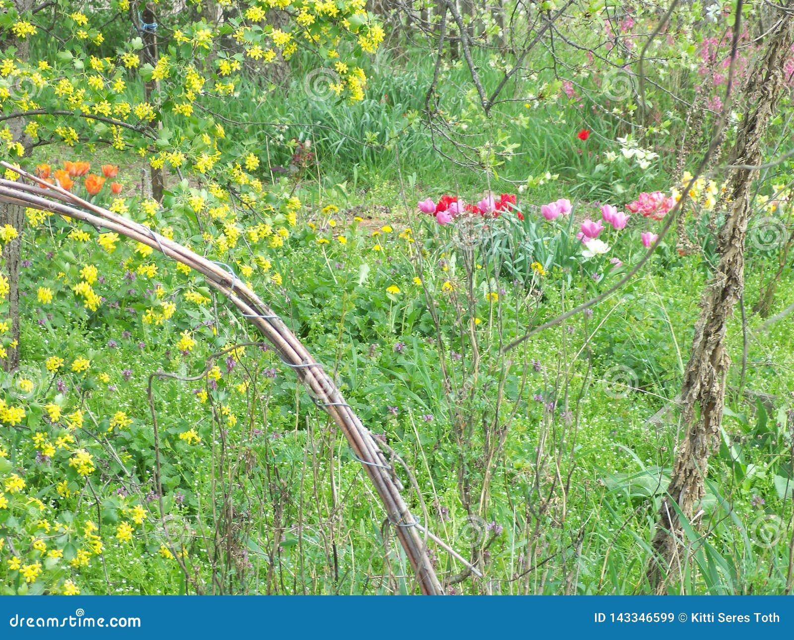 Tulipanes, dientes de león y pasa-Bush floreciente