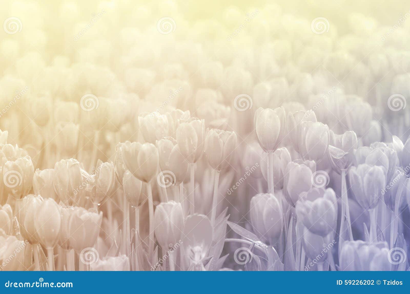 Download Tulipanes Dulces Del Color En Fondo Suave Del Estilo Foto de archivo - Imagen de armonía, campo: 59226202