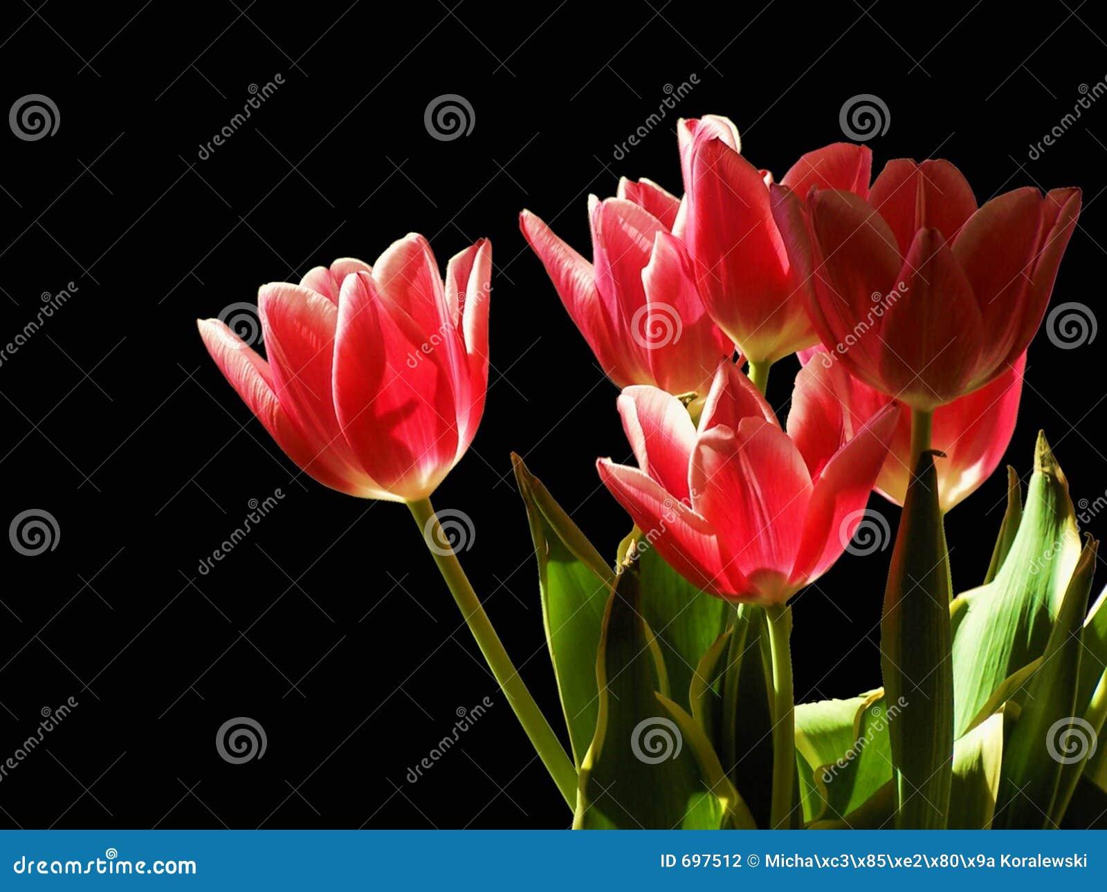 Tulipanes en la noche