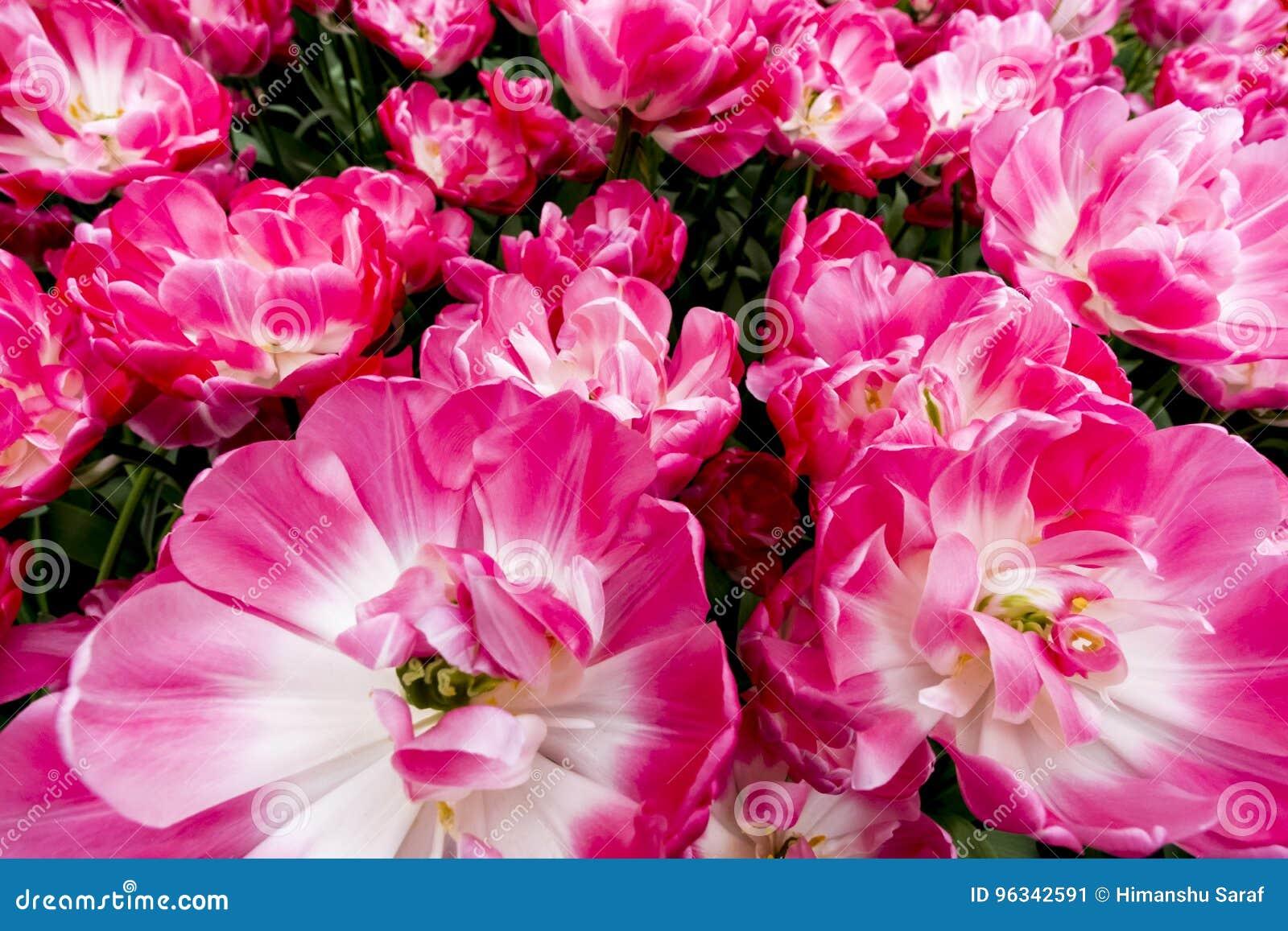 Tulipanes en Países Bajos