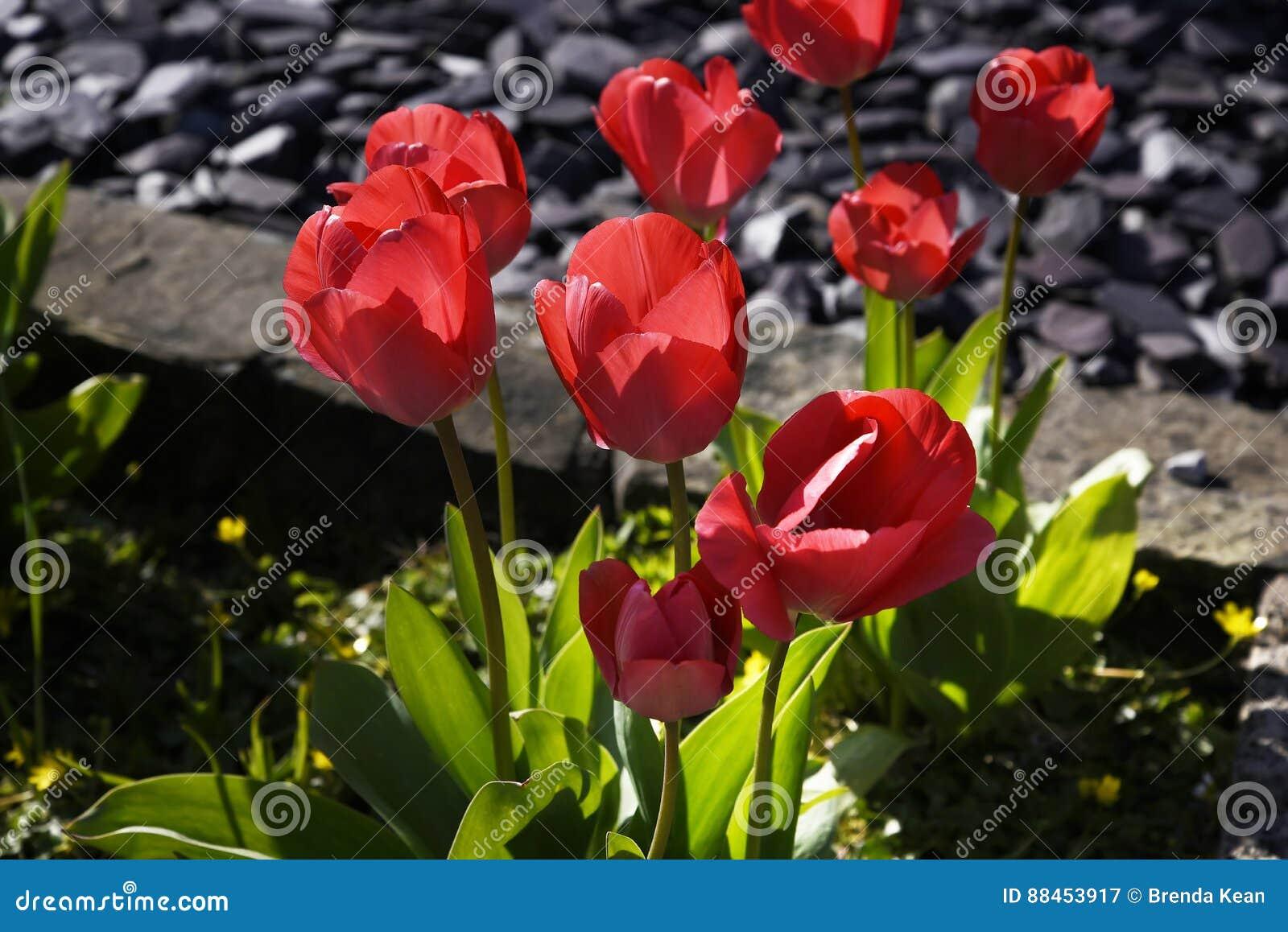 Tulipanes en un jardín de Lancashire