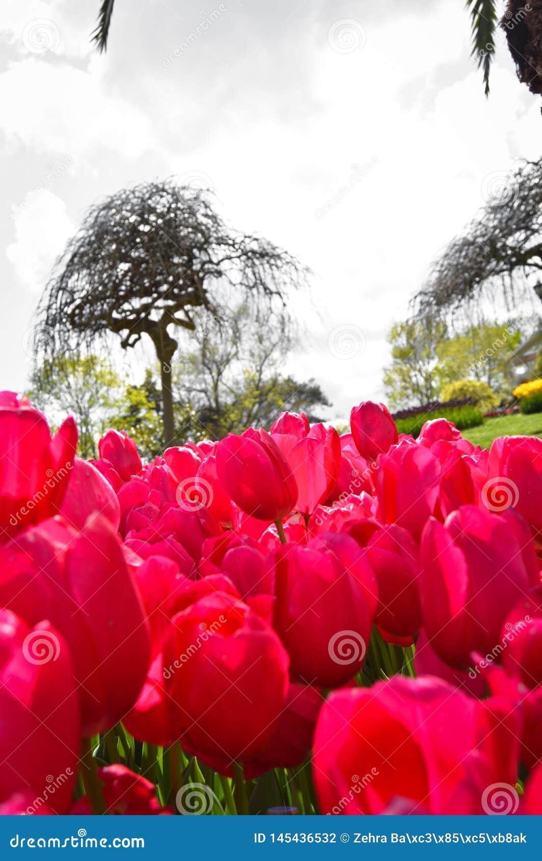 Tulipanes espectaculares rojos en la primavera