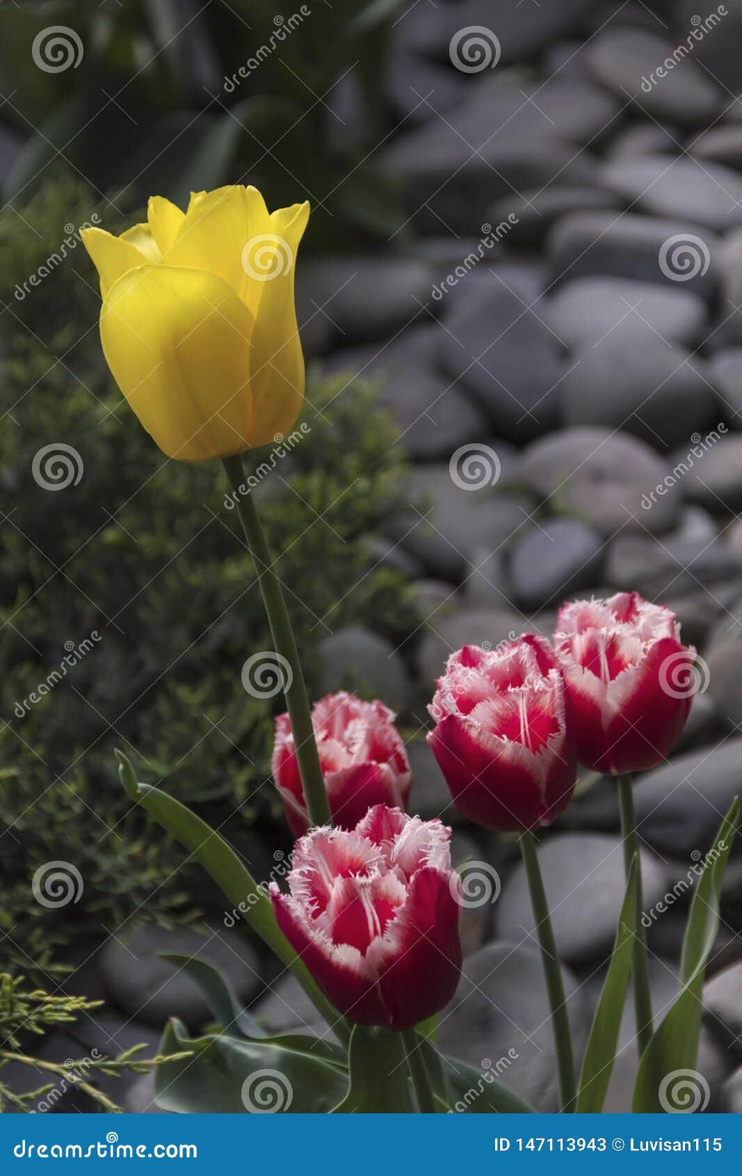 Tulipanes florecientes hermosos en el jard?n en fondo de la primavera