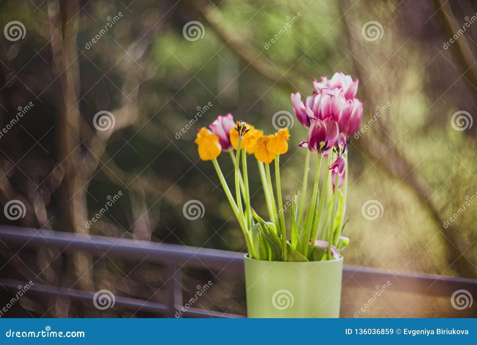 Tulipanes púrpuras y amarillos hermosos en florero verde en la tabla de madera afuera r