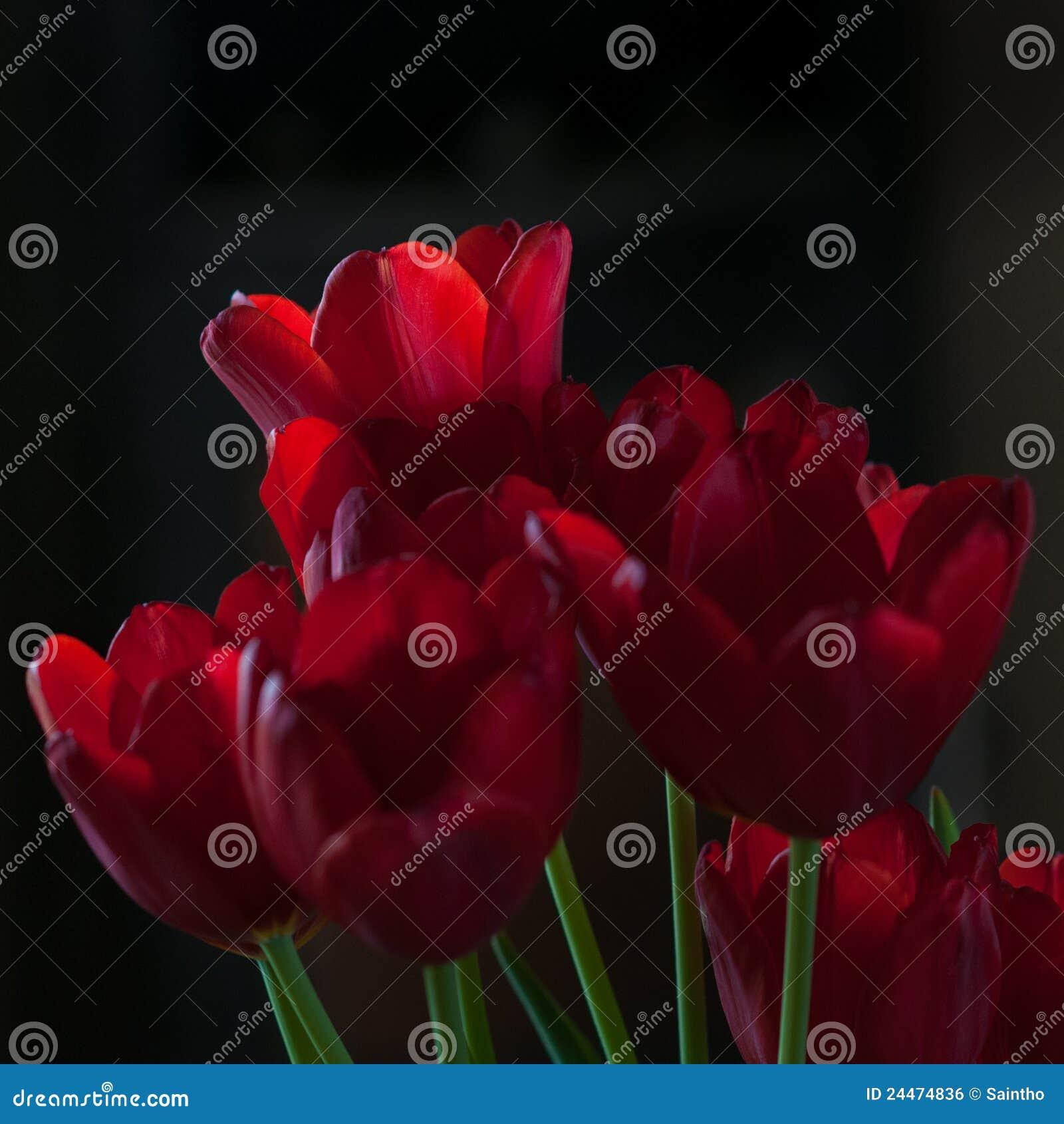 Tulipanes rojos en claroscuro
