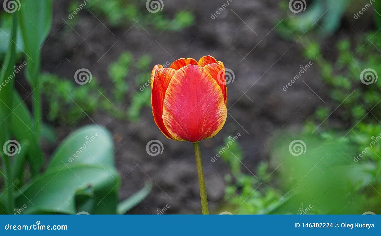 Tulipanes rojos en una cama en la primavera