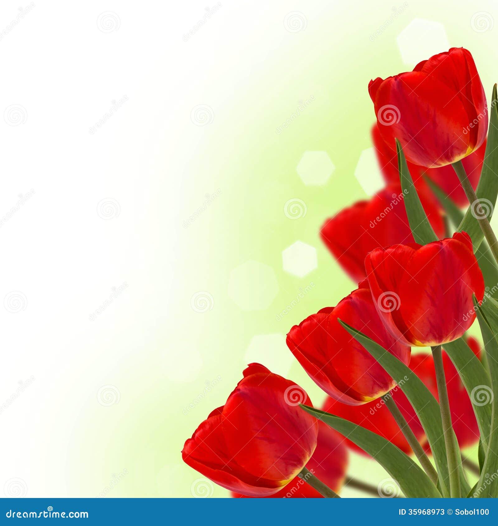 Tulipanes rojos frescos en fondo verde