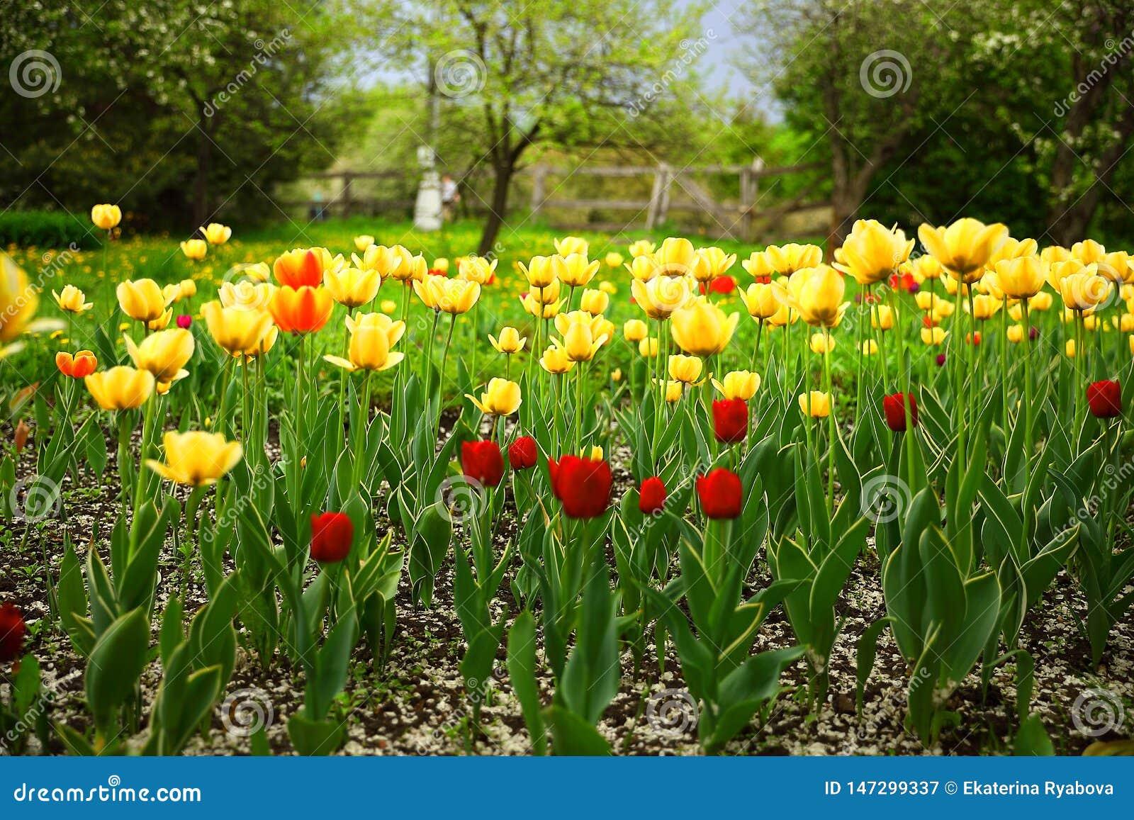Tulipanes rojos y amarillos en el jard?n