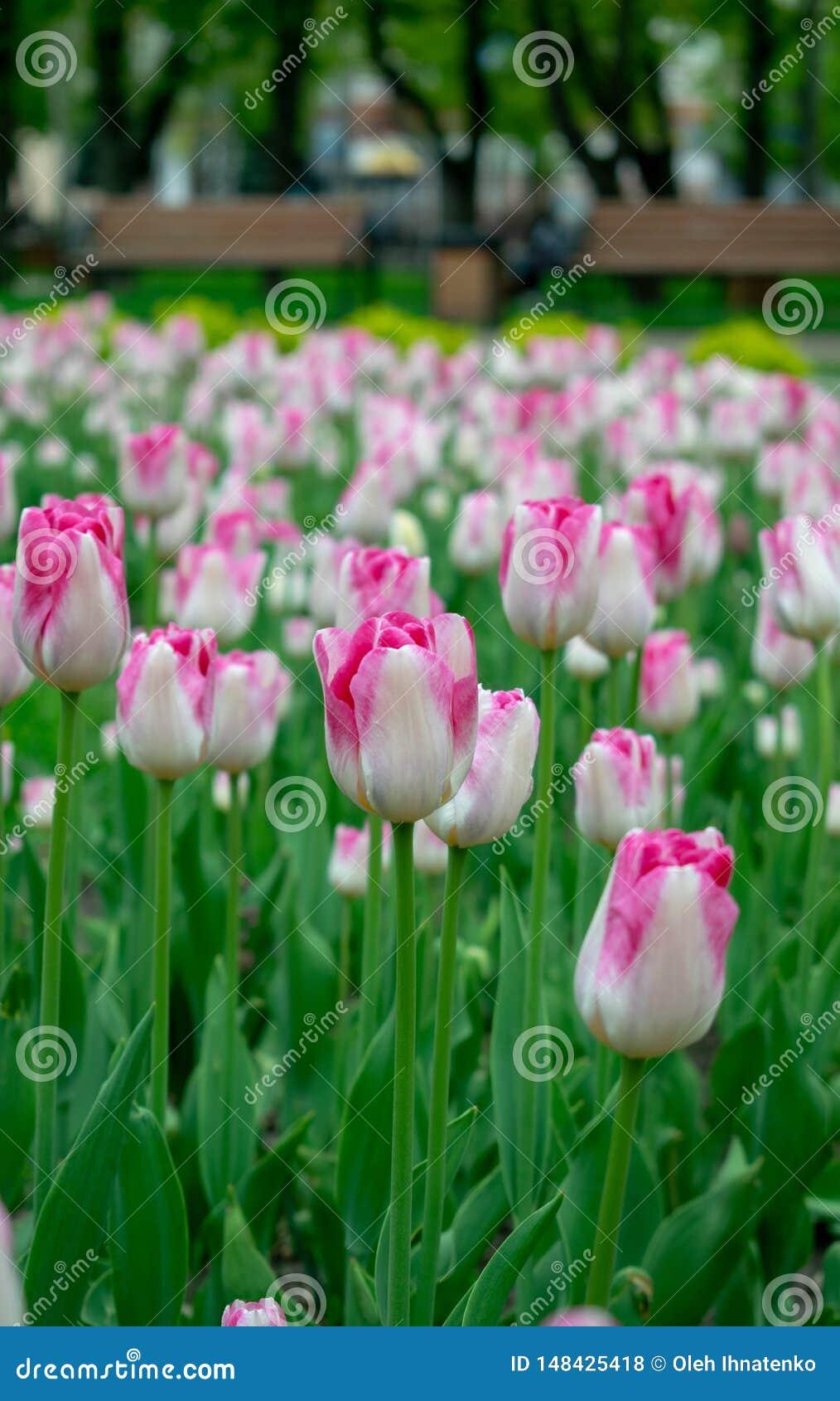 Tulipanes rosados en el parque de la ciudad
