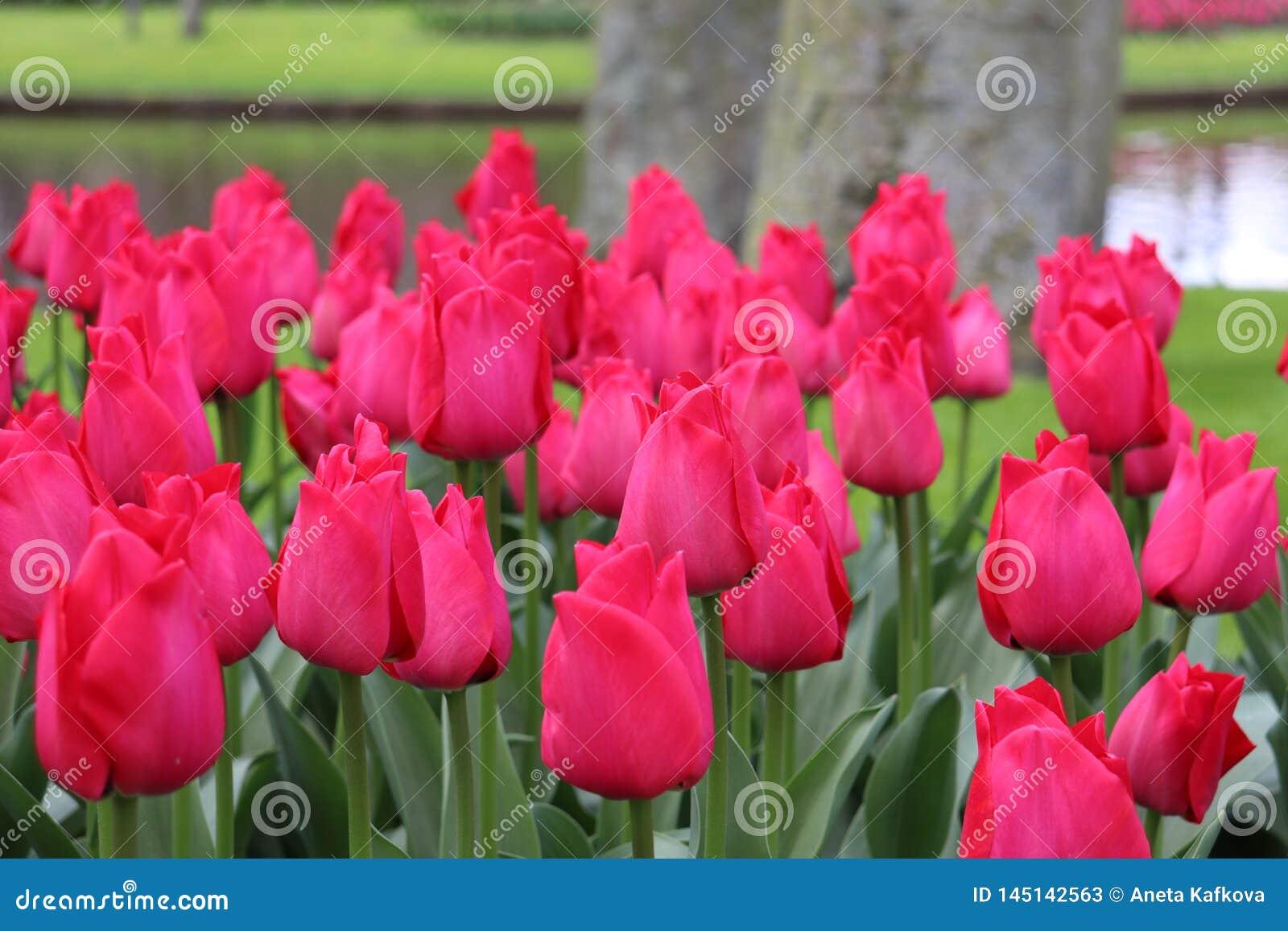 Tulipanes rosados hermosos en el parque