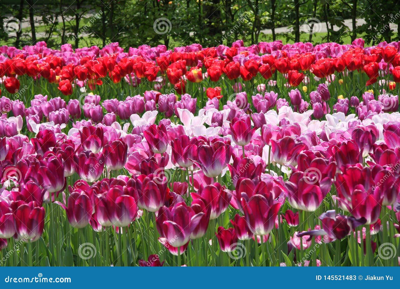 Tulipanes violetas y rojos en campo de flores