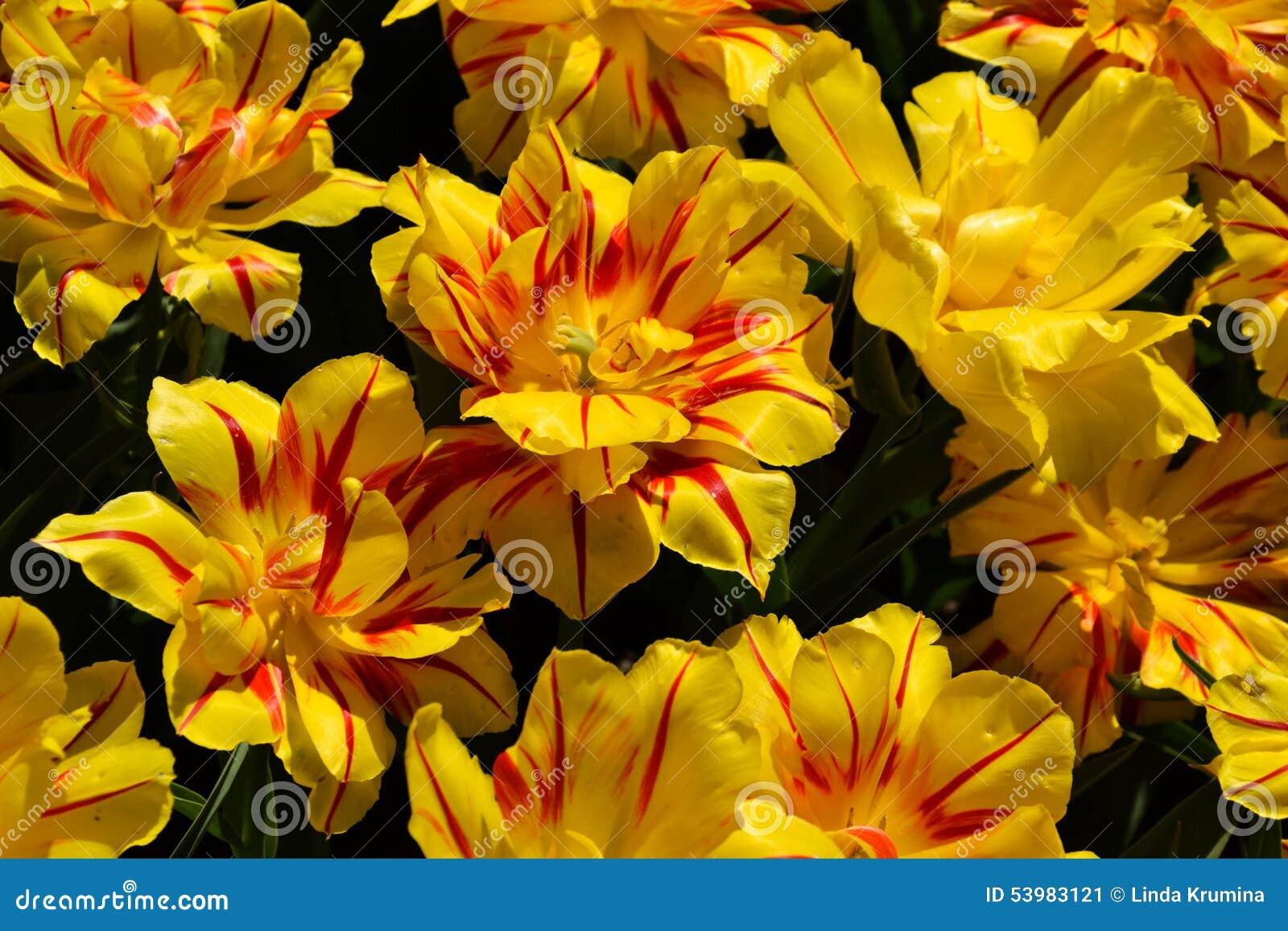 Tulipani aperti fotografia stock immagine 53983121 for Tulipani arancioni