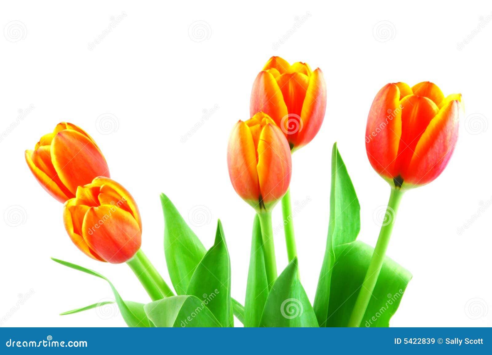 Tulipani arancioni immagini stock libere da diritti for Tulipani arancioni