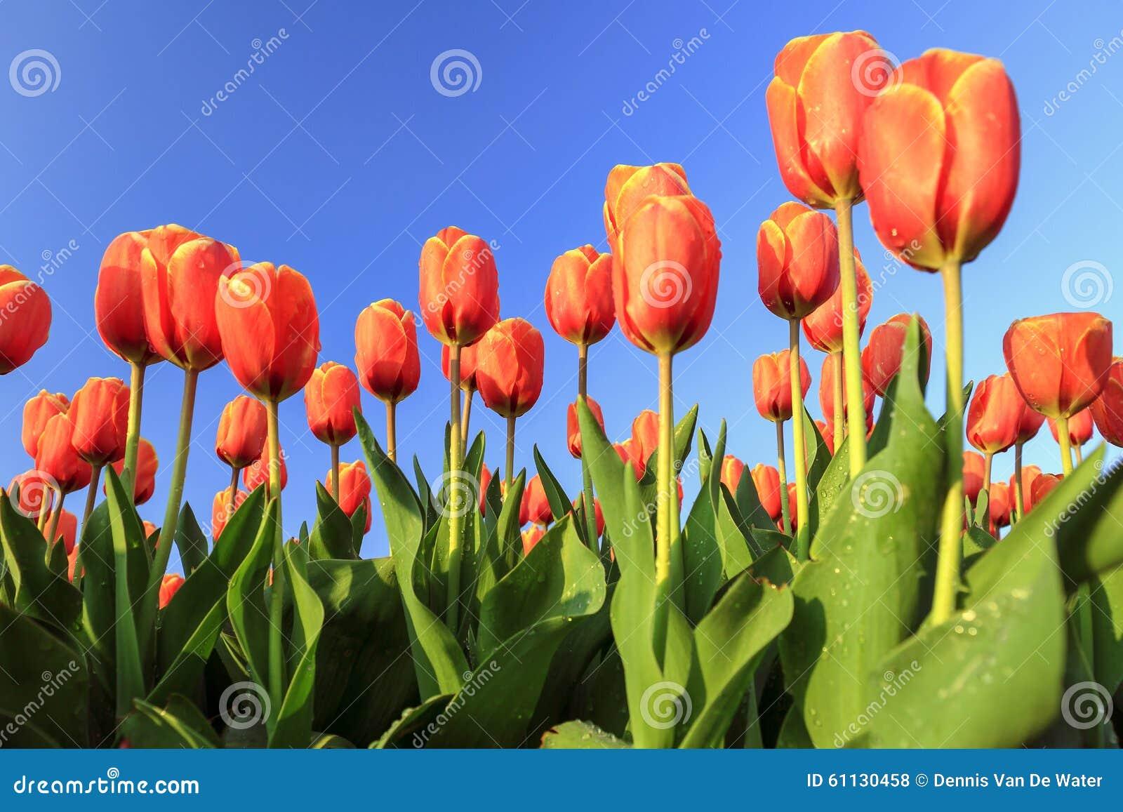 Tulipani arancioni fotografia stock immagine 61130458 for Tulipani arancioni