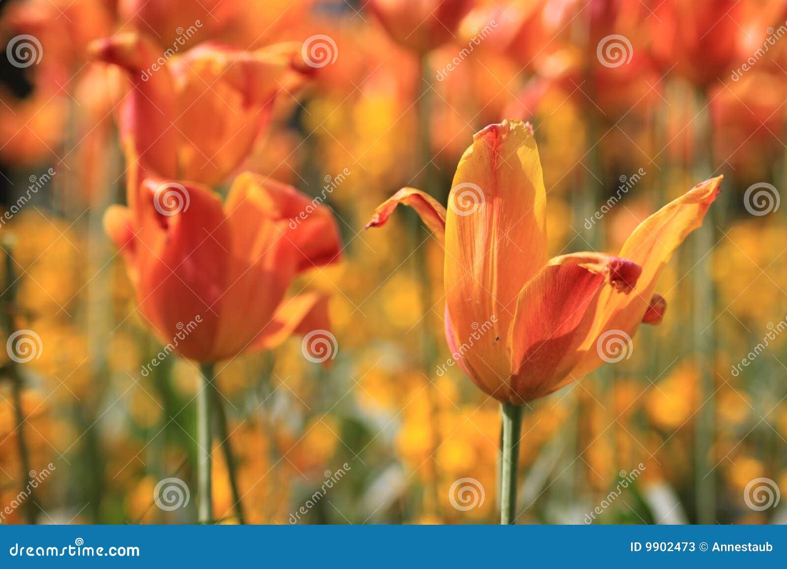 Tulipani arancioni di fioritura fotografie stock for Tulipani arancioni