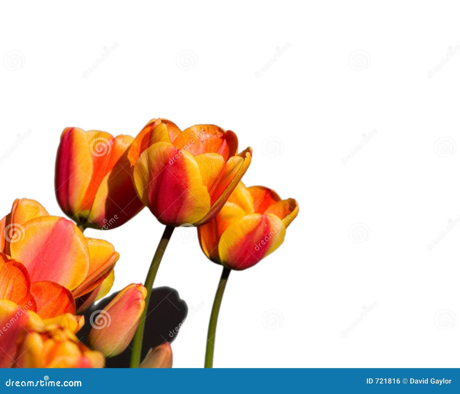 Tulipani arancioni e gialli isolati immagine stock libera for Tulipani arancioni