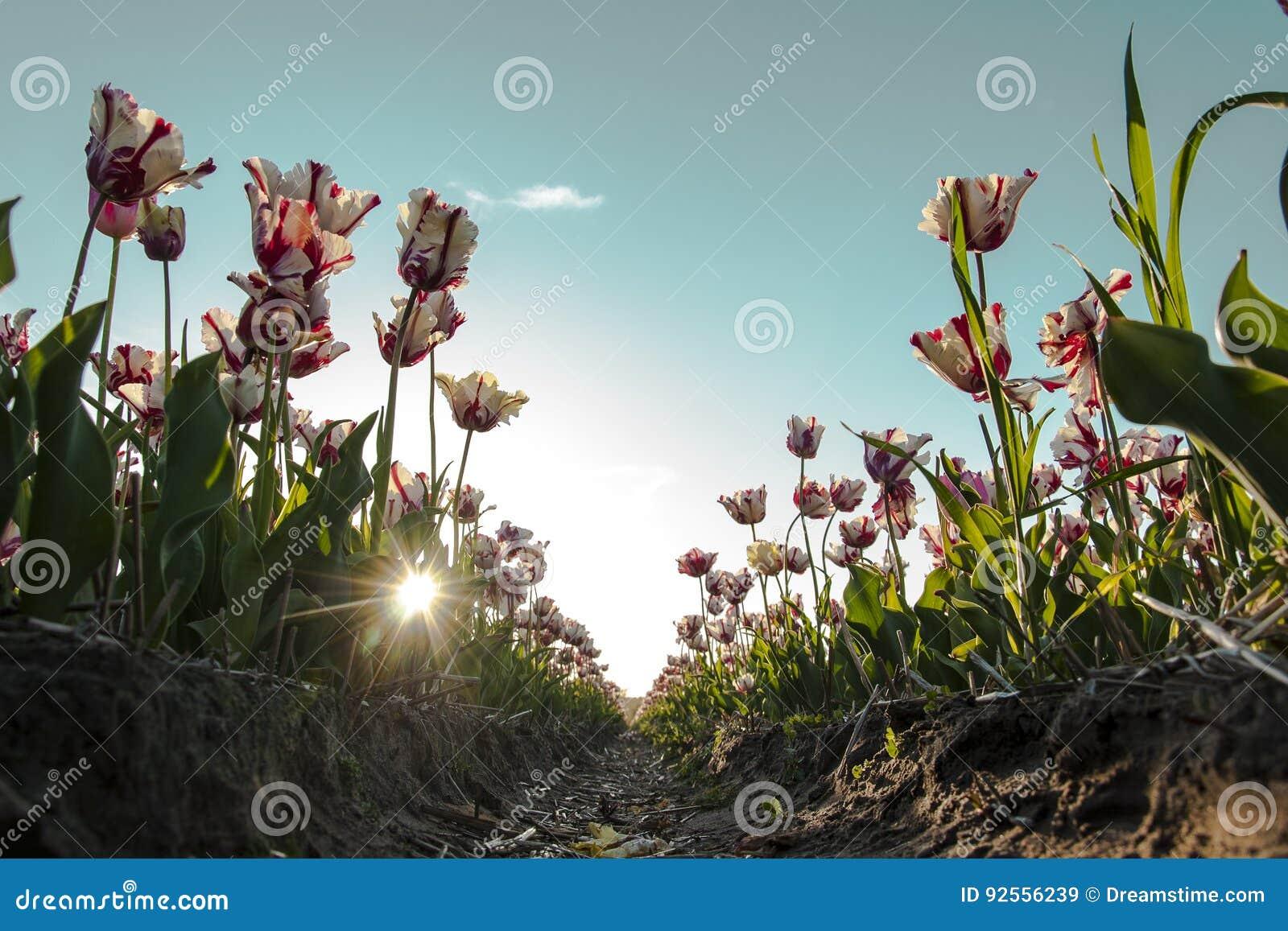 Tulipani bianchi e rossi in Olanda al tramonto