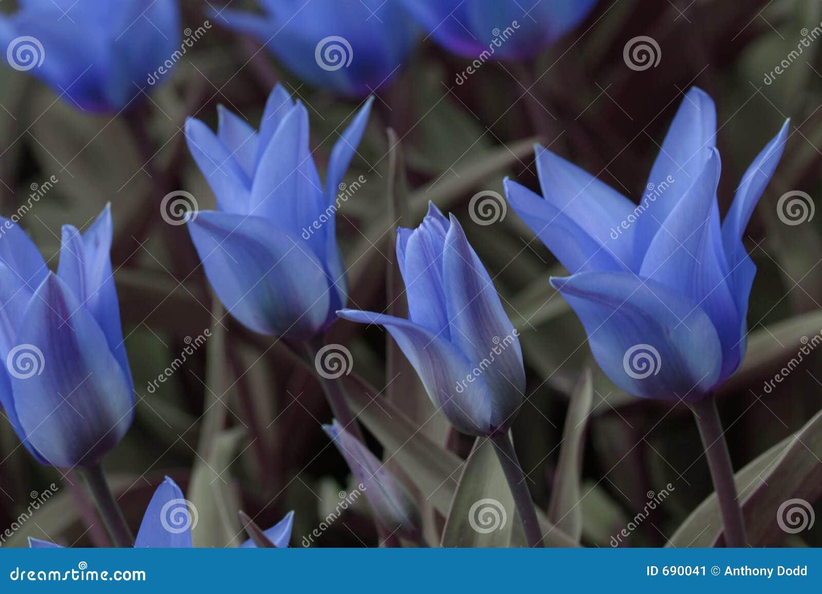 tulipani blu immagine stock immagine 690041