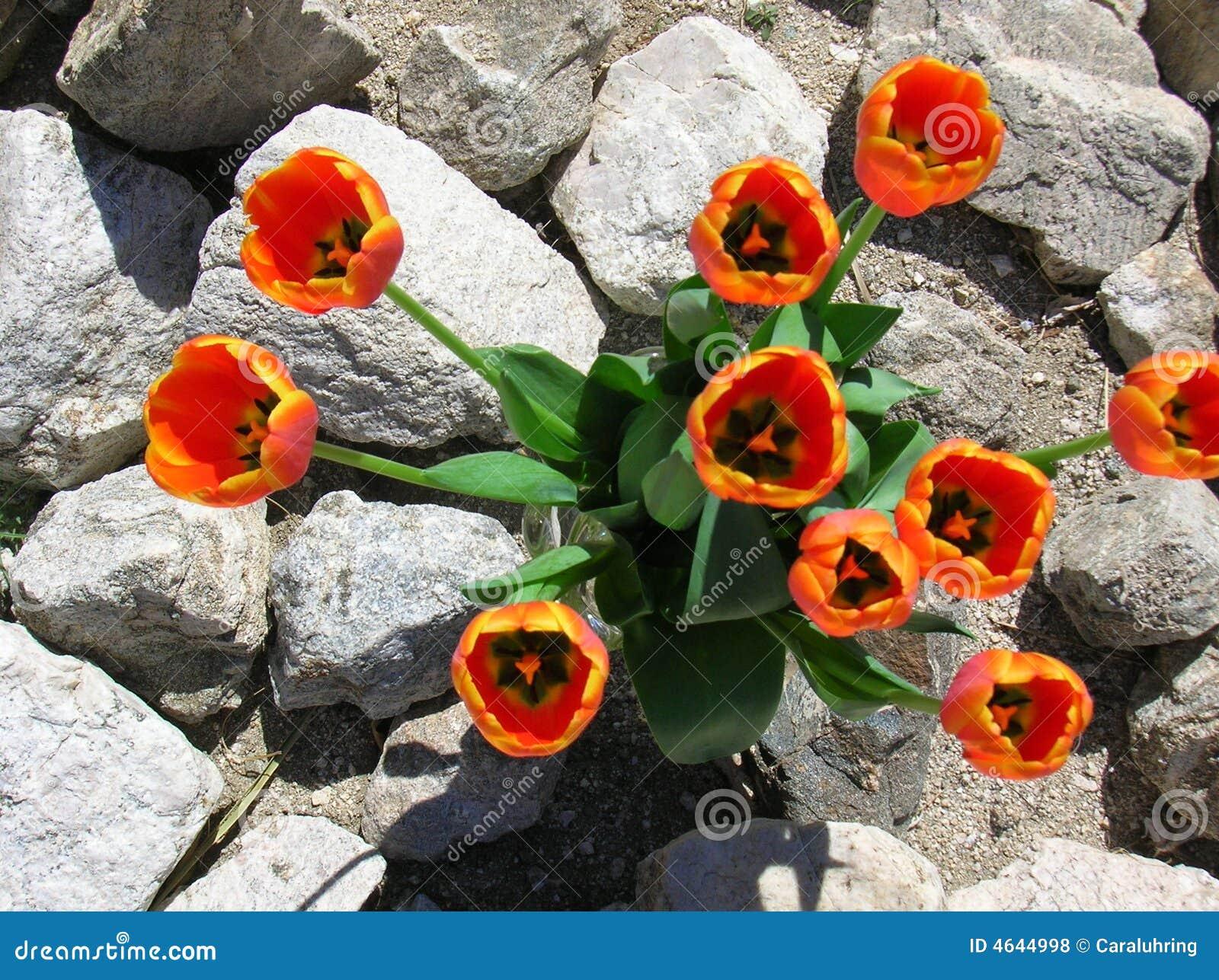 Tulipani del deserto fotografie stock libere da diritti for Tulipani arancioni