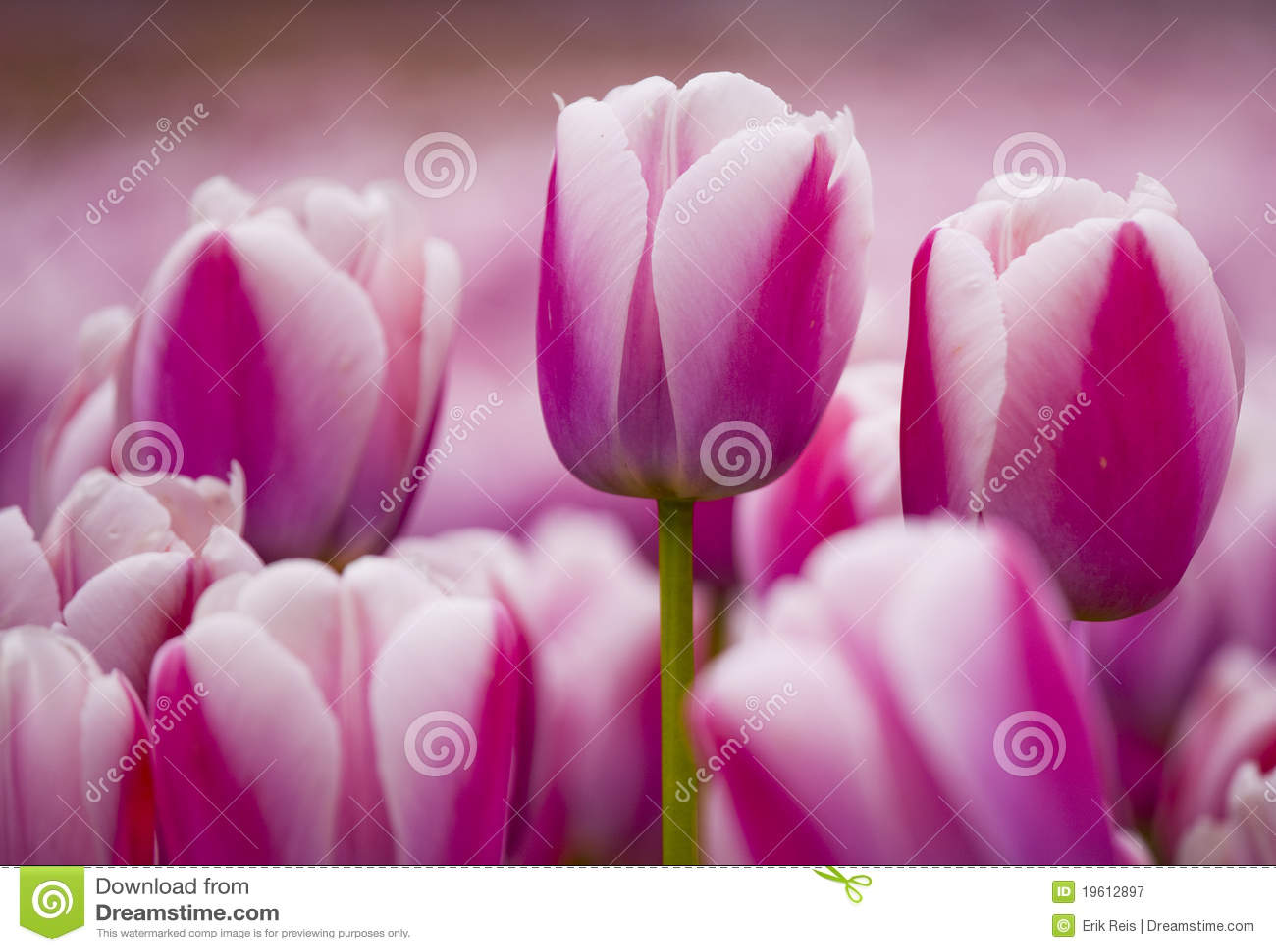 Tulipani dentellare