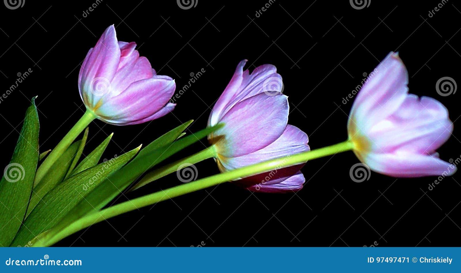 Tulipani di rosa pastello
