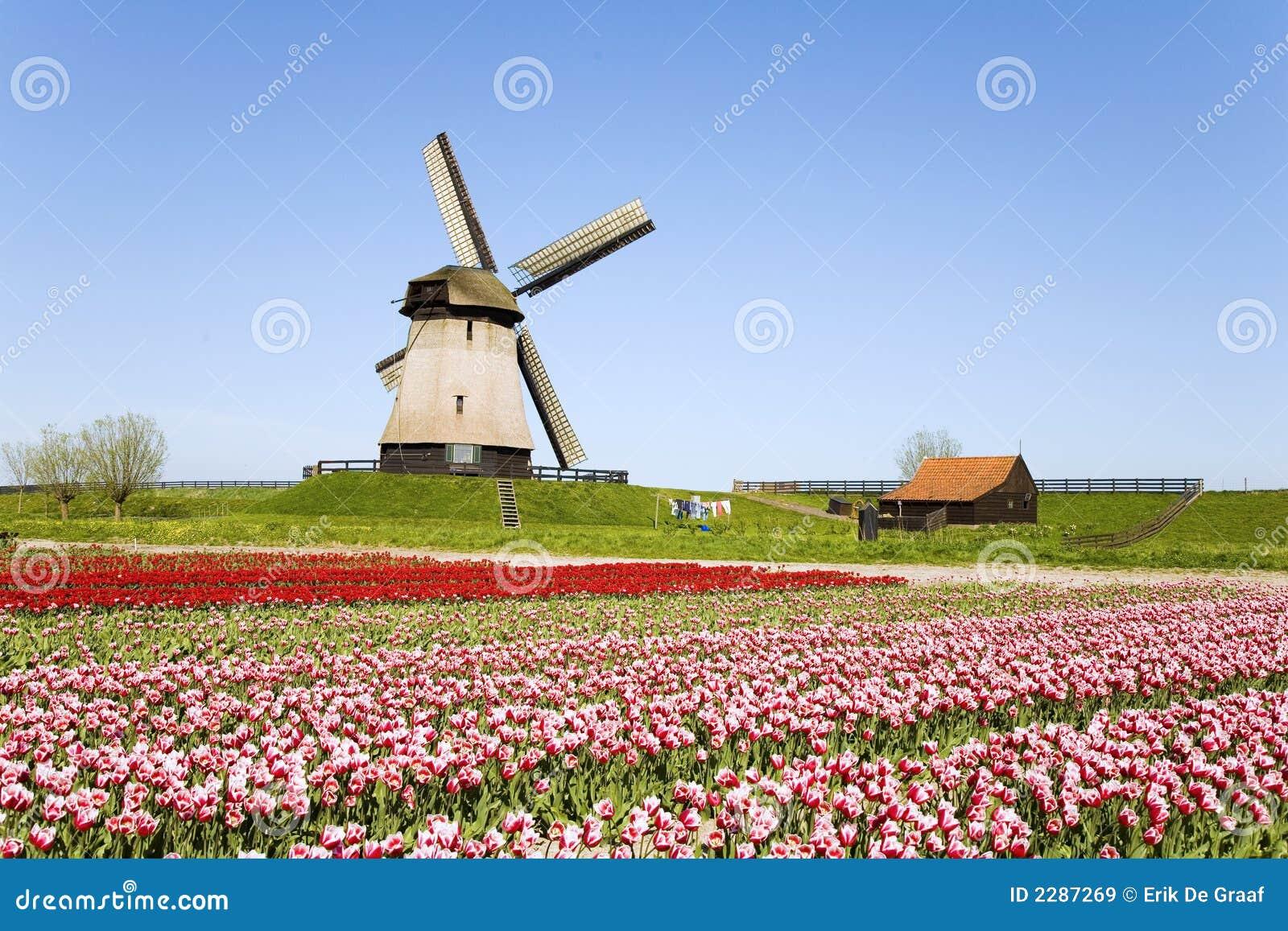 Tulipani E Mulino A Vento 5 Immagine Stock Immagine Di Generatore