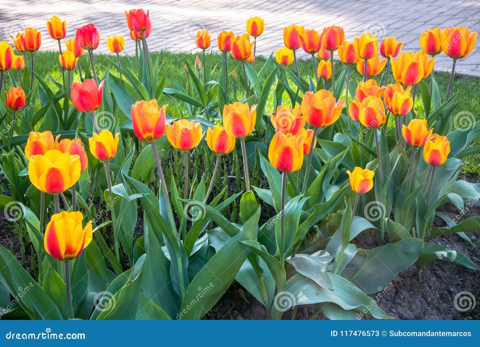 Tulipani festivi su un aiola