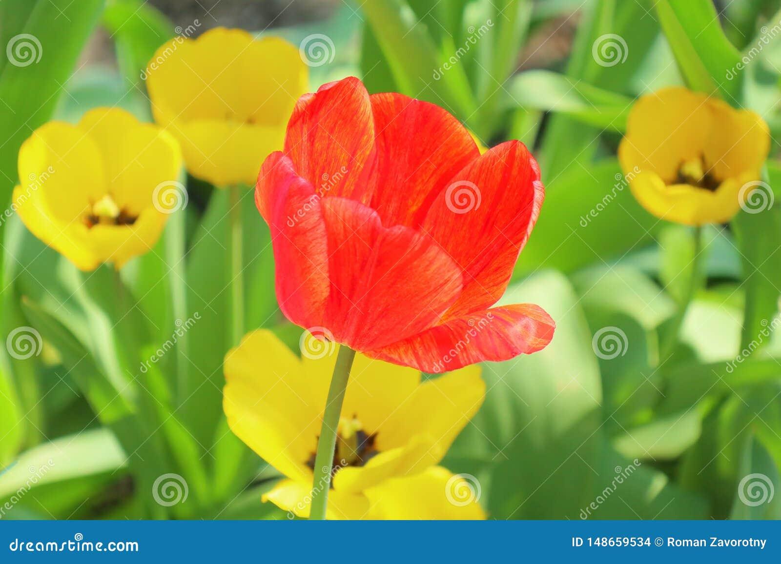 Tulipani gialli ed uno rossi su un fondo di giallo