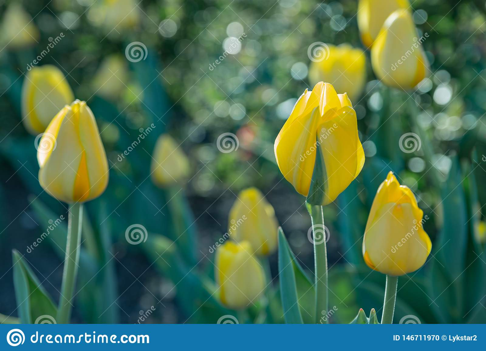 Tulipani gialli su fondo vago verde