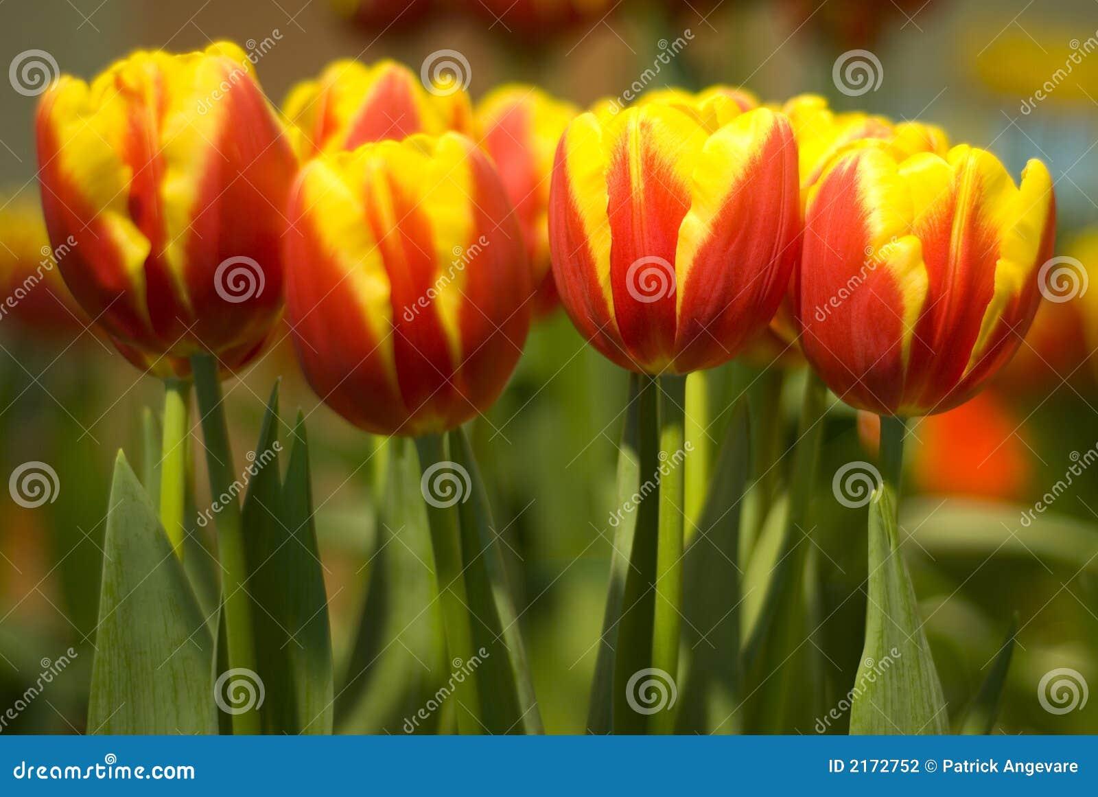 Tulipani giallo arancione fotografia stock immagine 2172752 for Tulipani arancioni