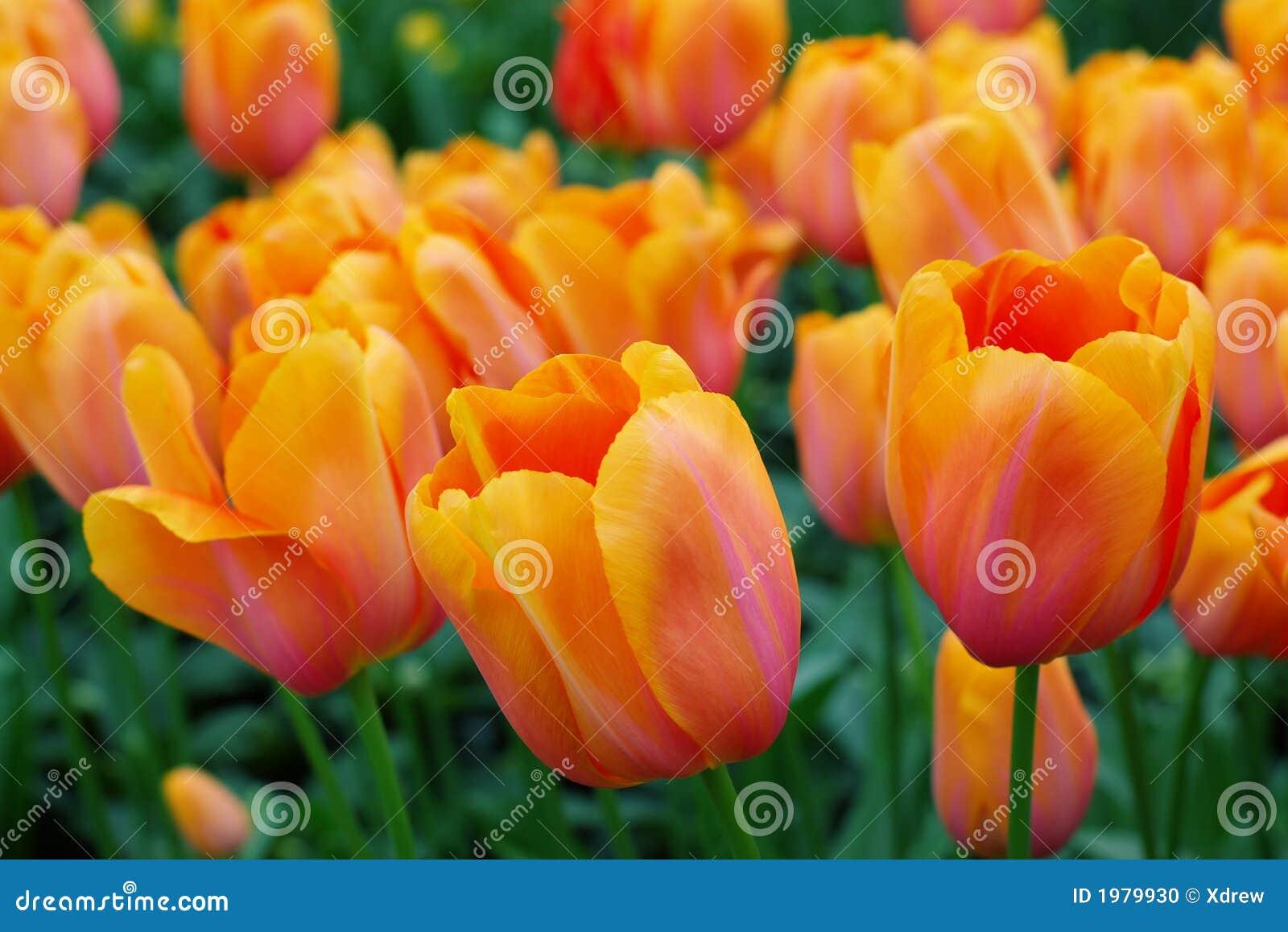 tulipani olandesi arancioni fotografia stock immagine