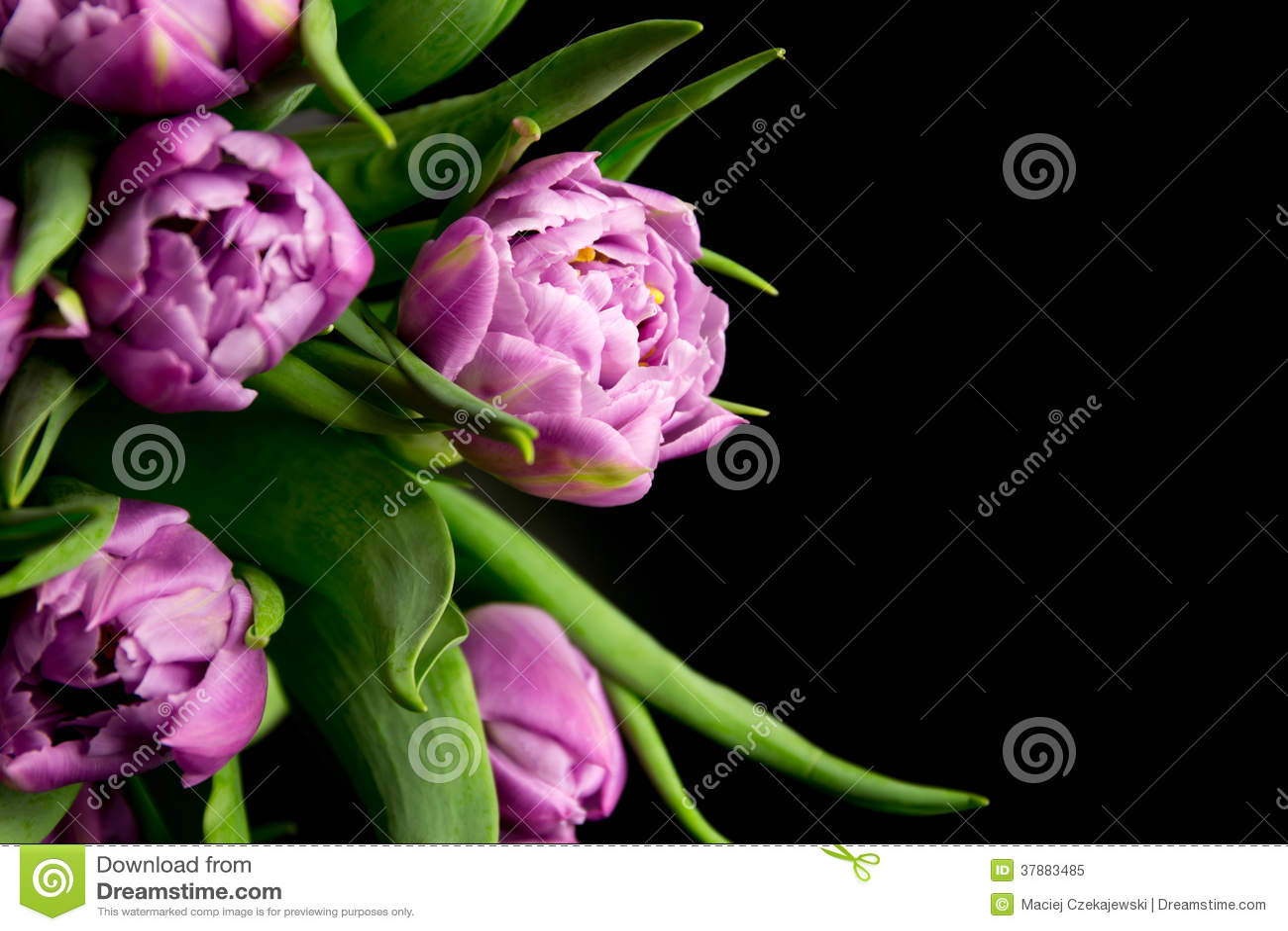 Tulipani porpora
