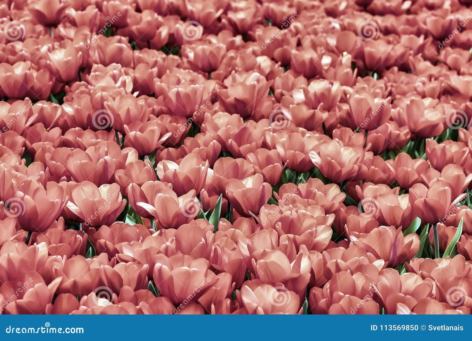 Tulipani Rosa Di Fioritura Pittoreschi Luminosi Mare Dei Fiori