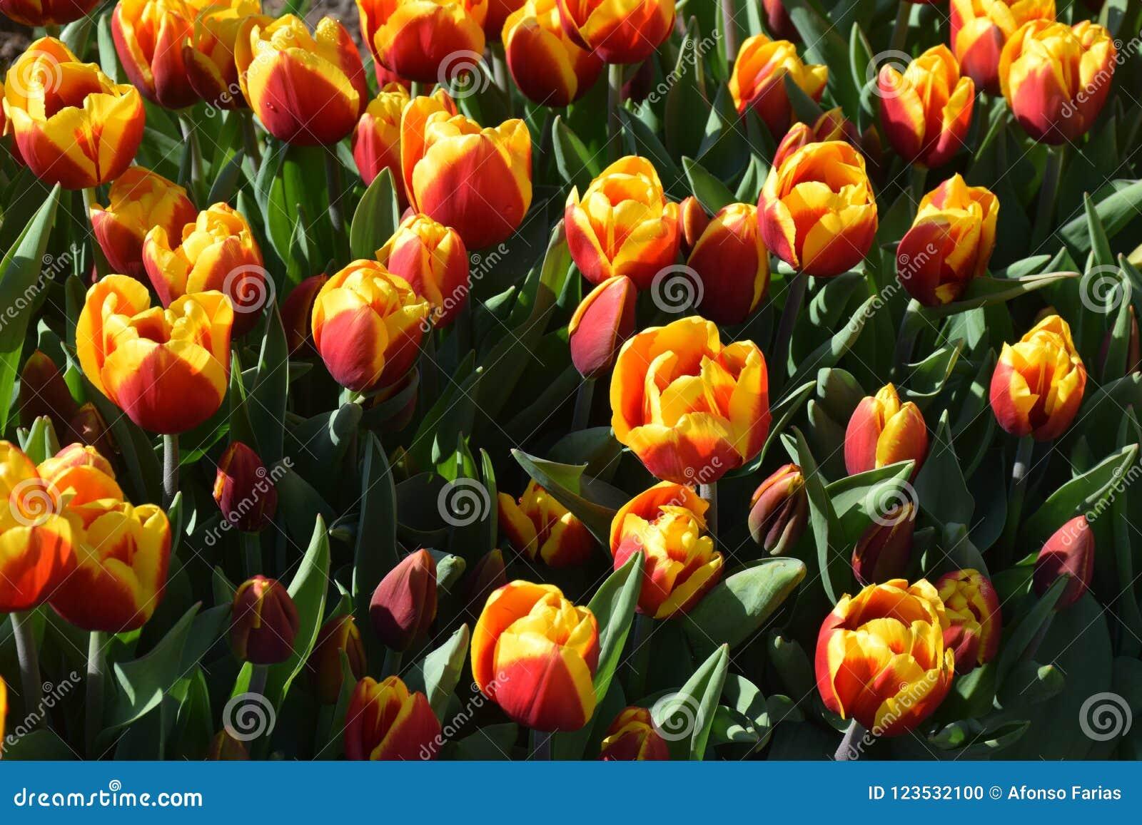 Tulipani rossi ed arancio nei giardini di Keukenhof, Paesi Bassi