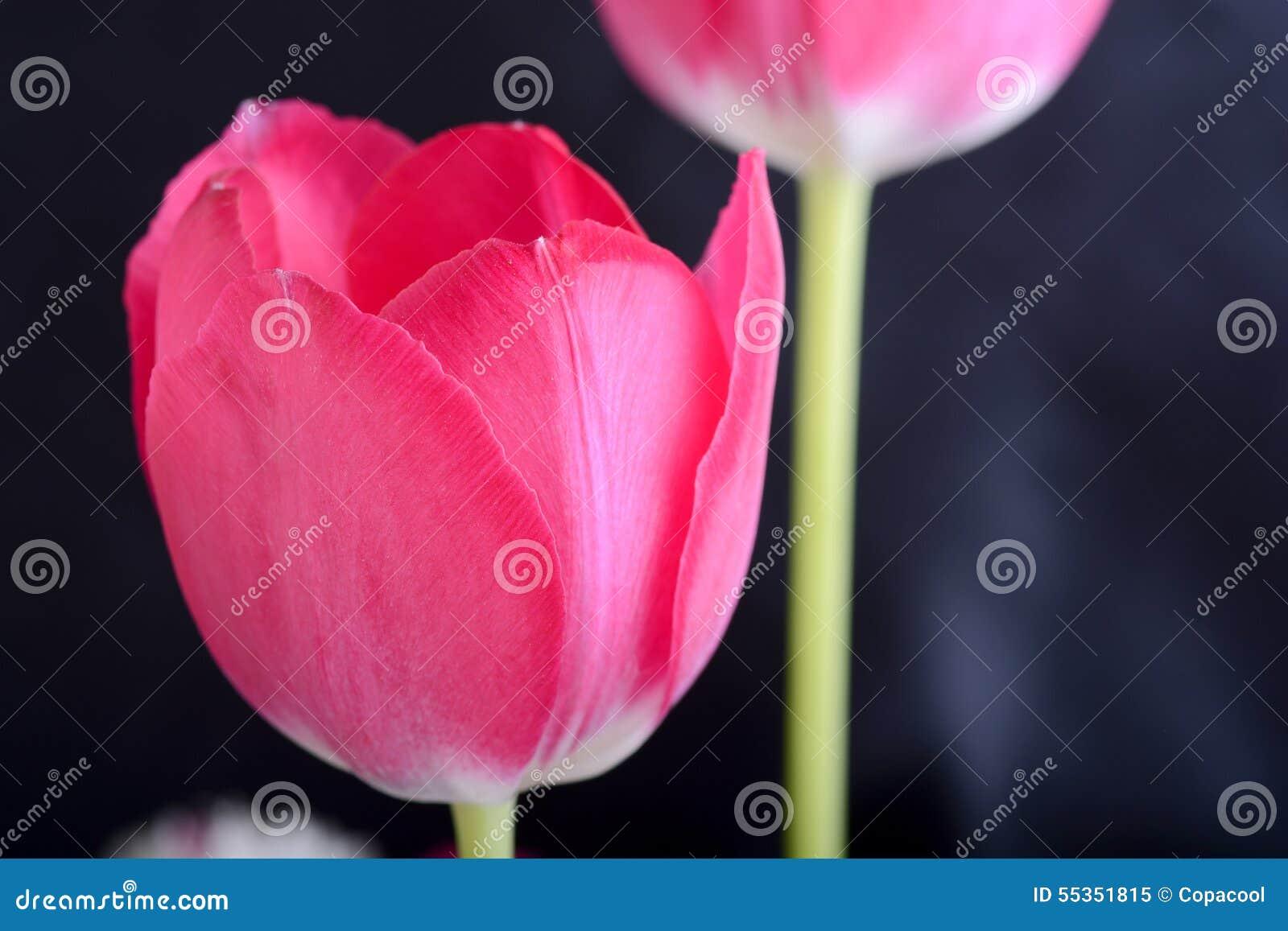 Tulipani rossi sul nero, fiori